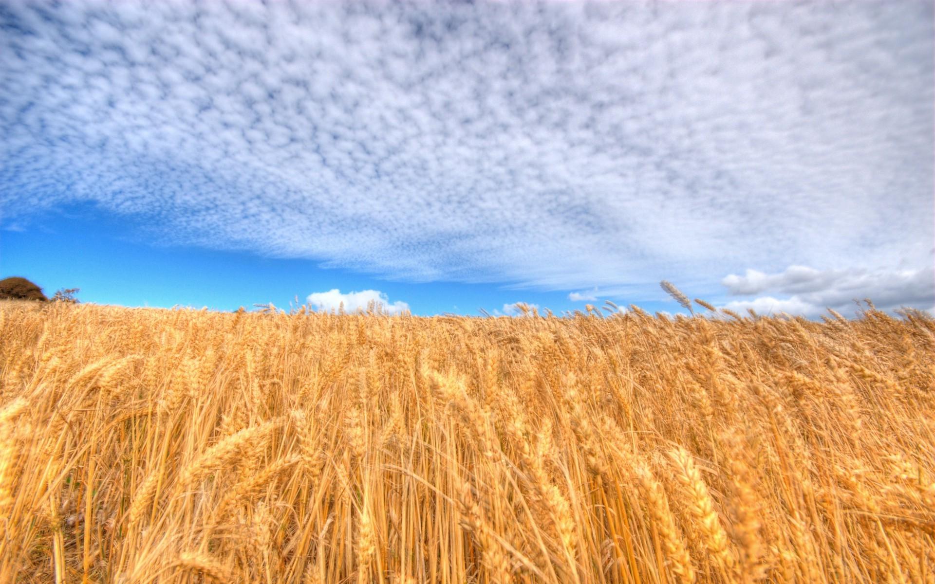 Картинки с пшеницей и рожью, поздравление февраля