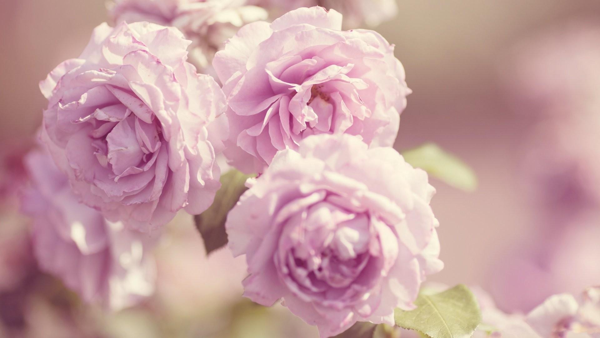 Hintergrundbilder Landschaft Pinke Blumen Lila Blühen Frühling
