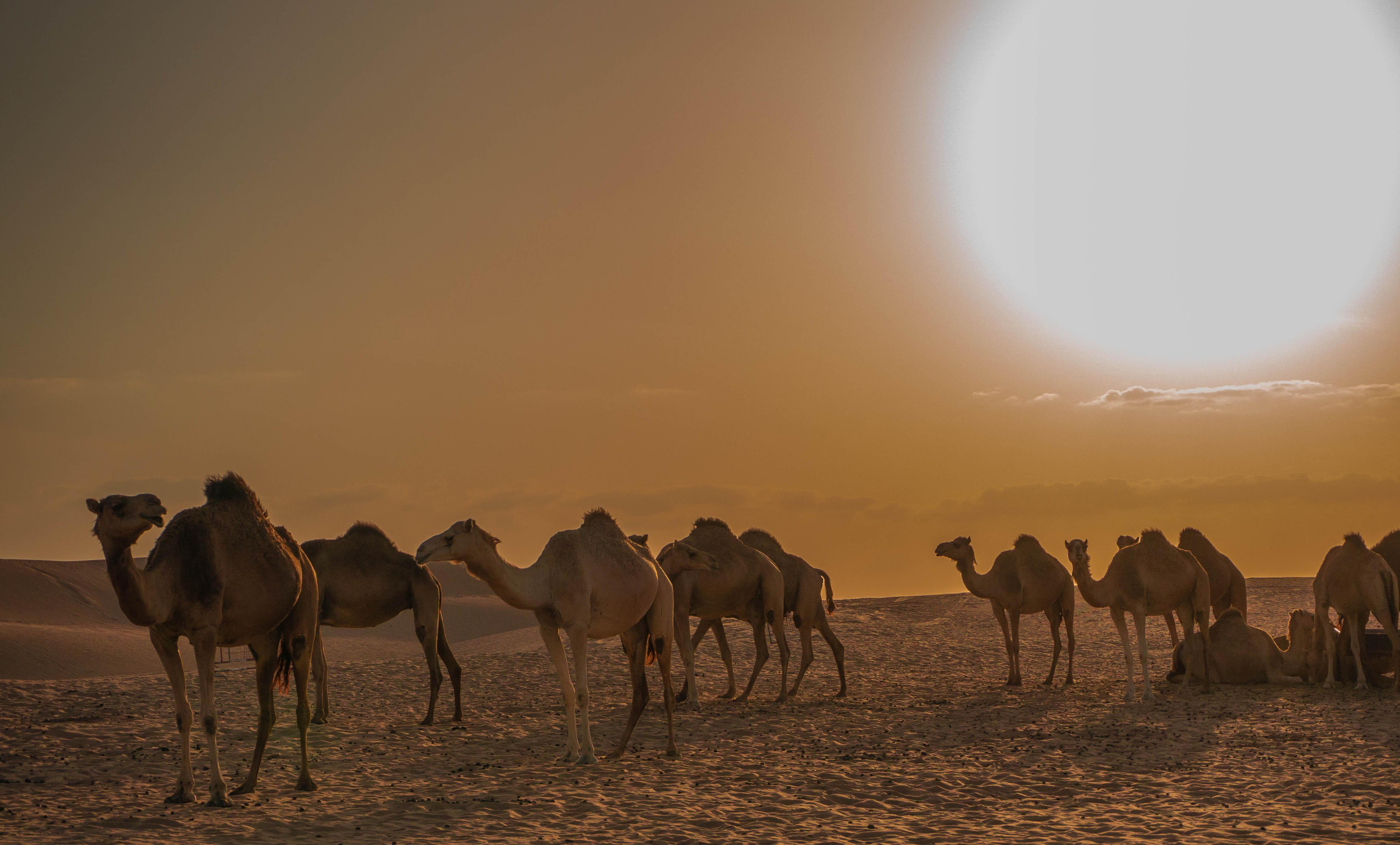 Wallpaper landscape sand sky morning wildlife desert dubai landscape sand sky morning wildlife desert dubai camels cameltoe sahara steppe camel herd uae ecosystem aeolian thecheapjerseys Choice Image