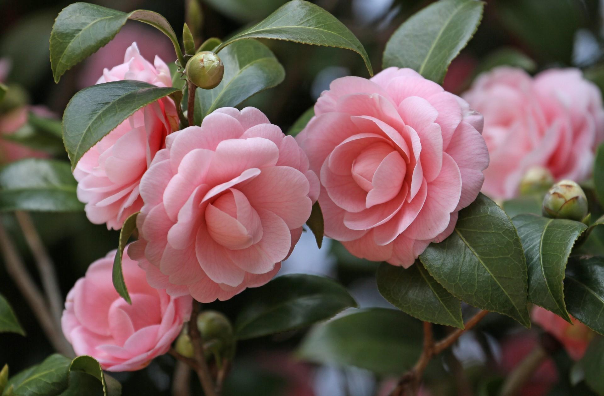 Wallpaper Leaves Flowers Garden Blossom Pink Flower Flora