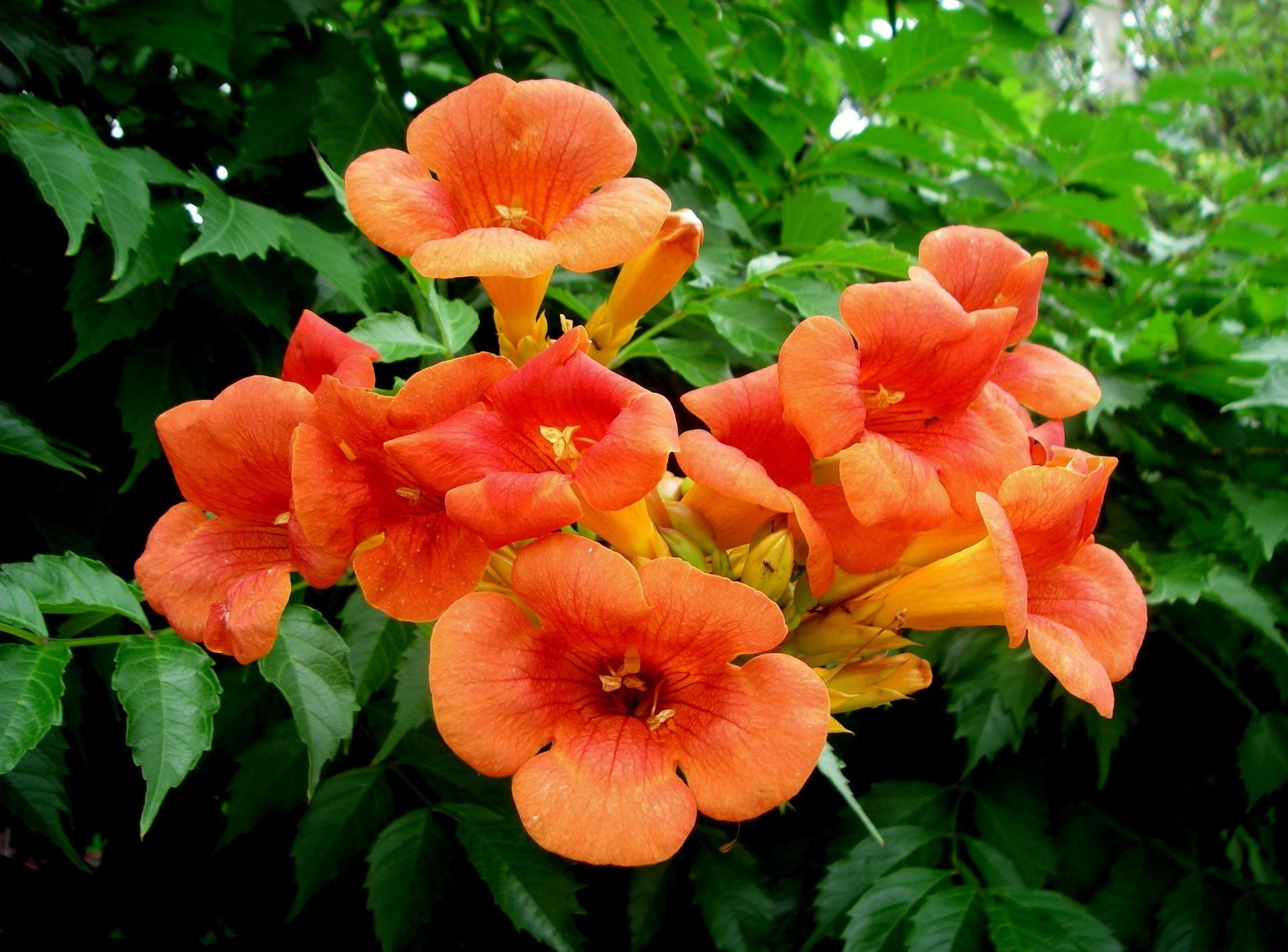 76+ Gambar Bunga Jeruk Paling Baru