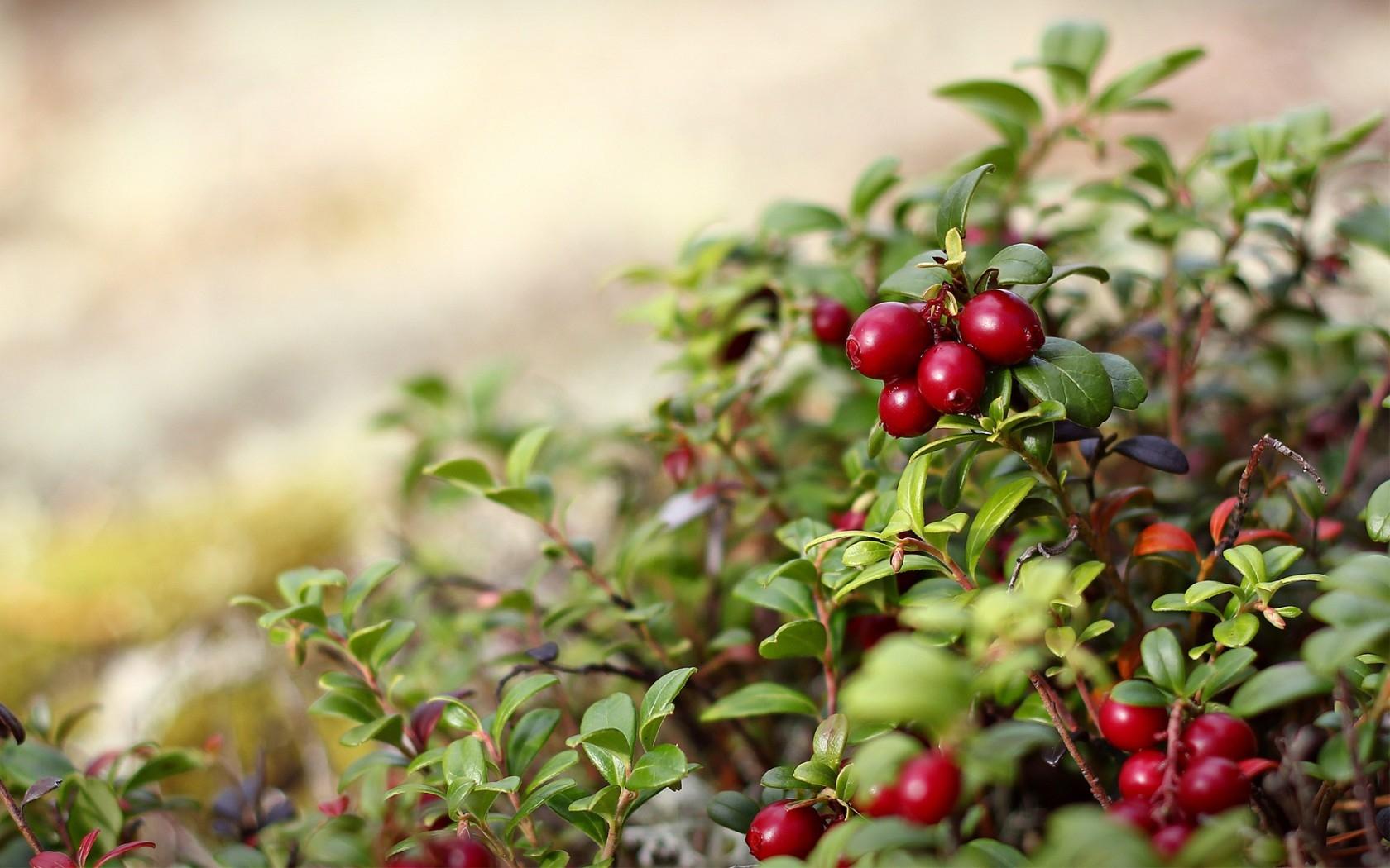 Hintergrundbilder Blätter Lebensmittel Natur rot Ast Frucht