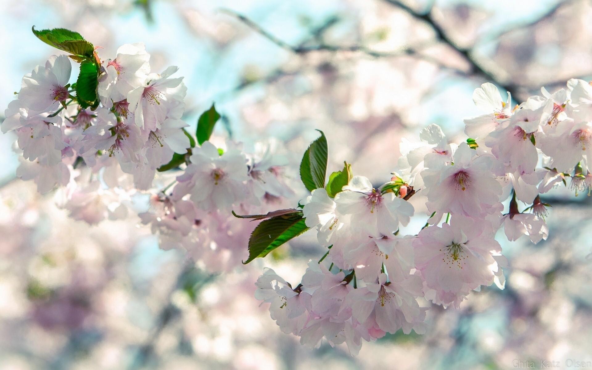 весна вишня цветет фото иностранцы
