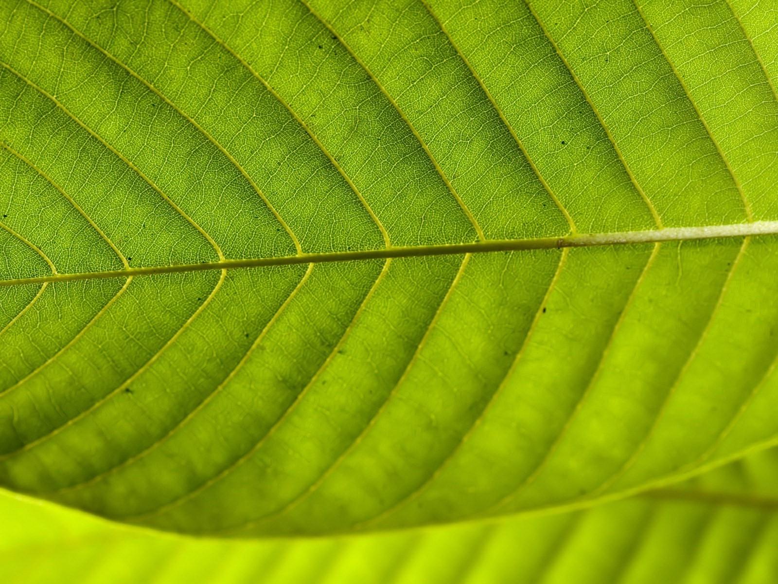 крым, макро фото сечение листа дерева никто