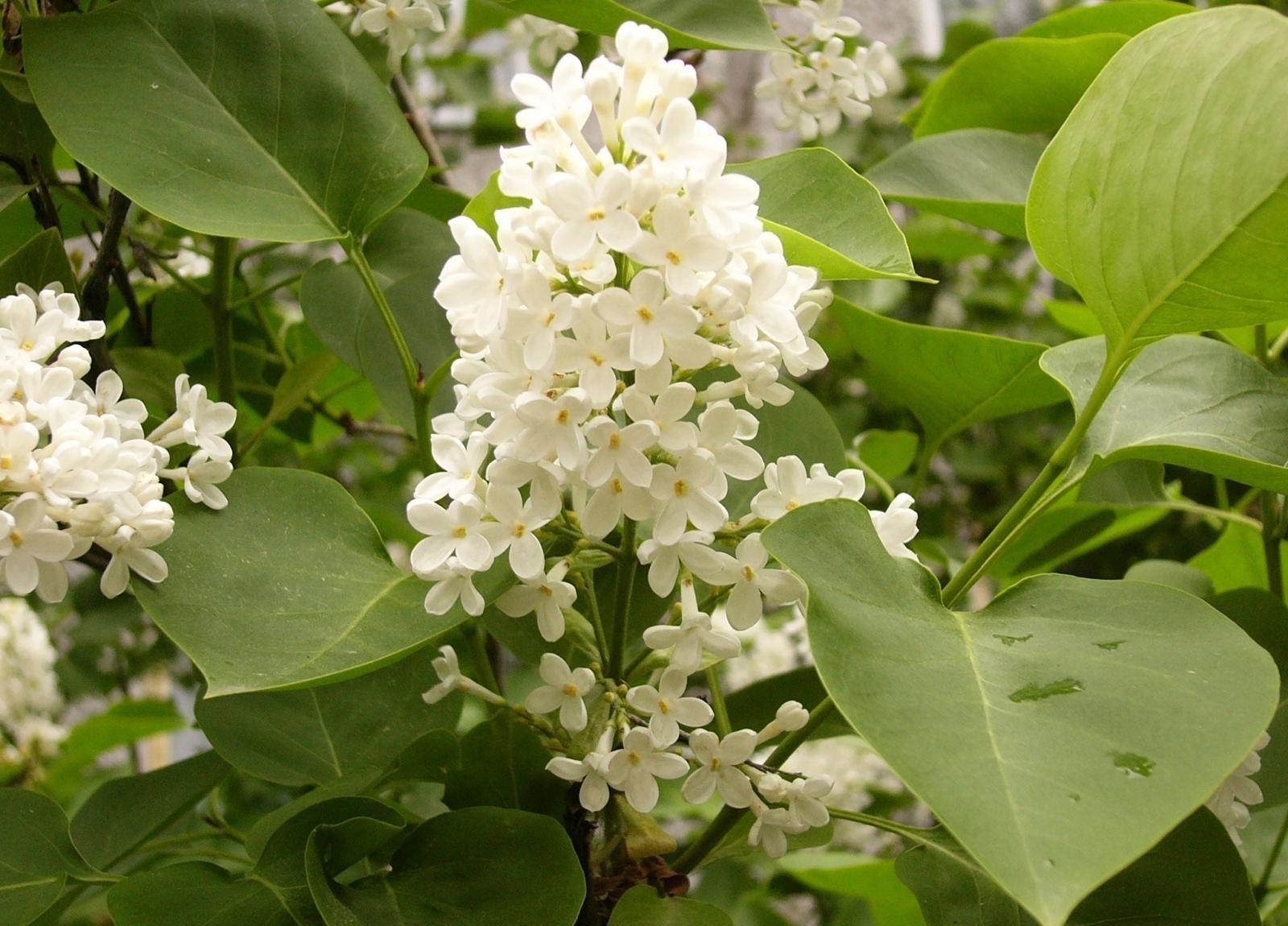 fond d'écran : feuilles, blanc, aliments, branche, fleurs, fleur