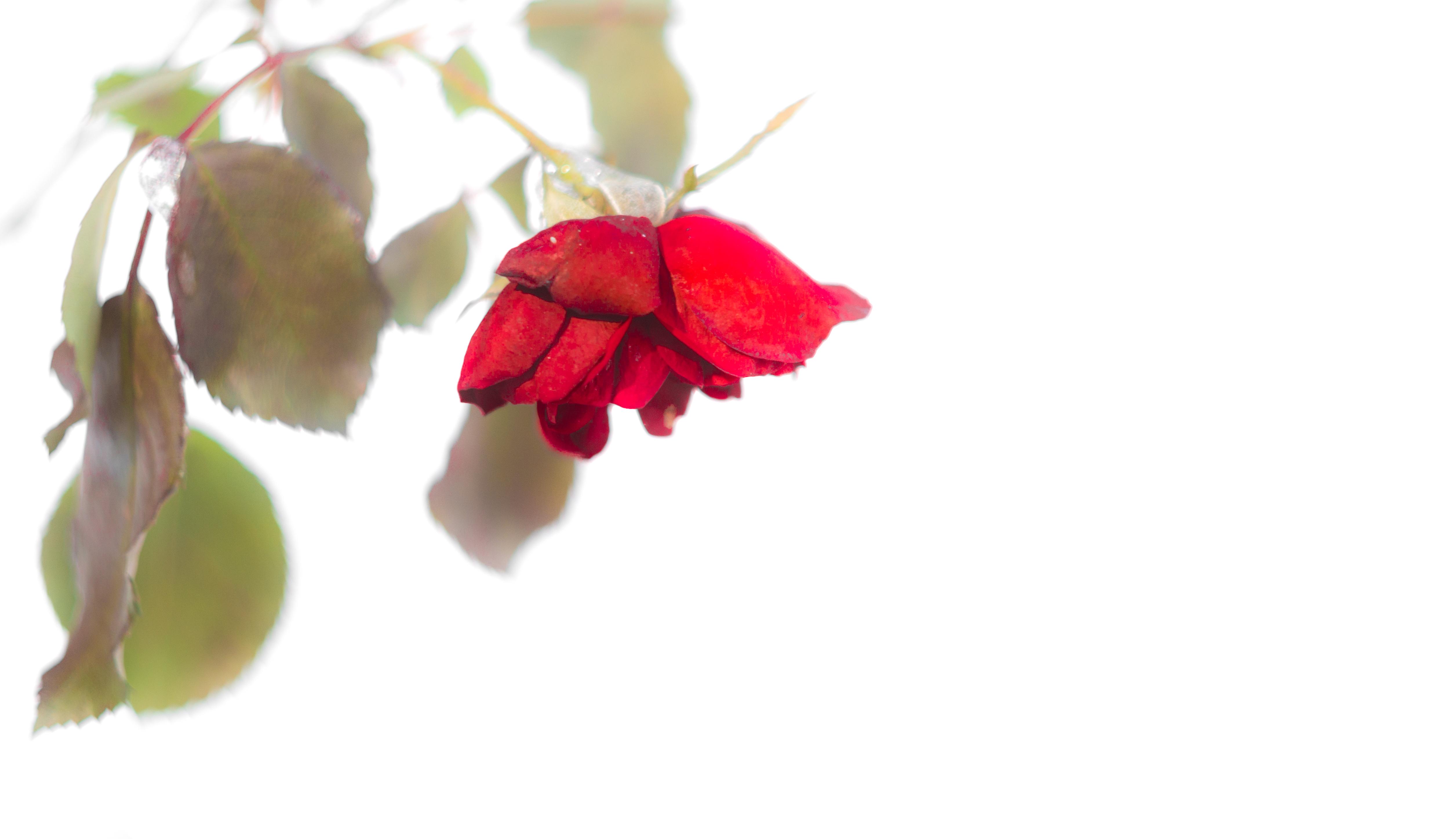 Hintergrundbilder : Blätter, Weiß, alt, Lebensmittel, Herz, rot ...