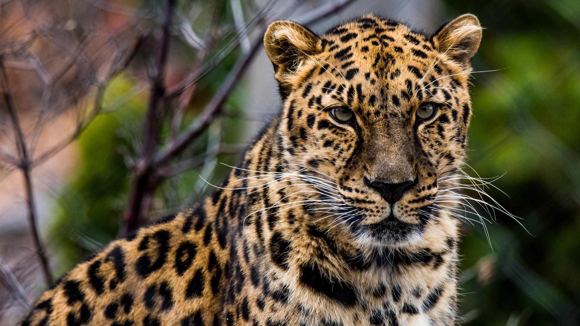 Wallpaper : macan tulul, kucing besar, african leopard