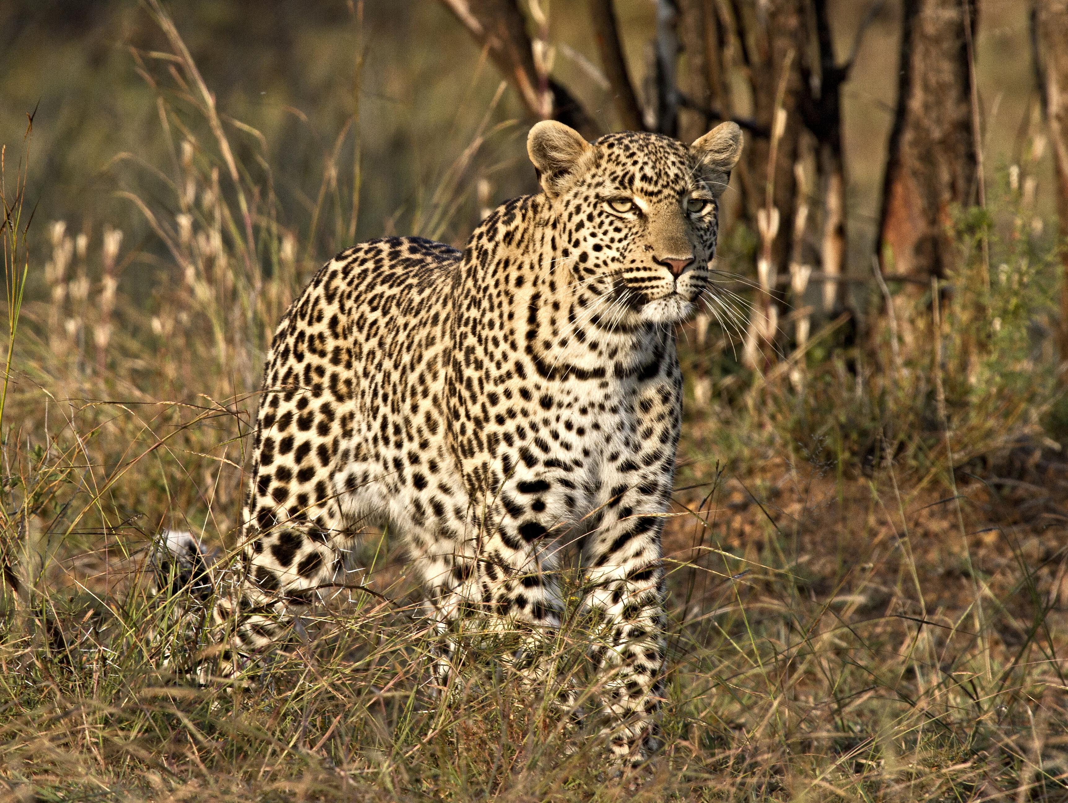 Wallpaper Leopard Bigcats Wildlife Predator Bush