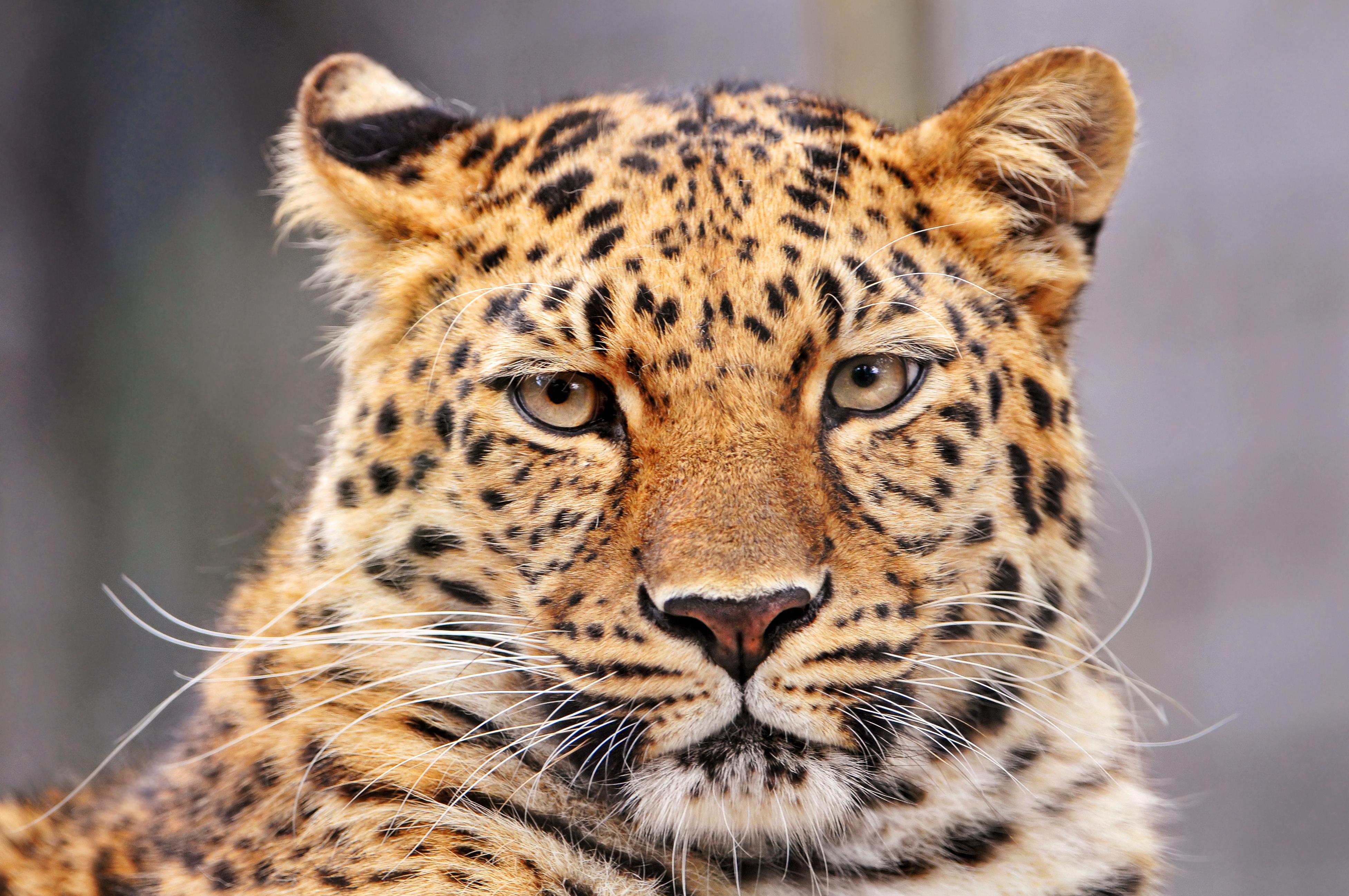 Обои леопард, Кошка, морда. Кошки foto 12