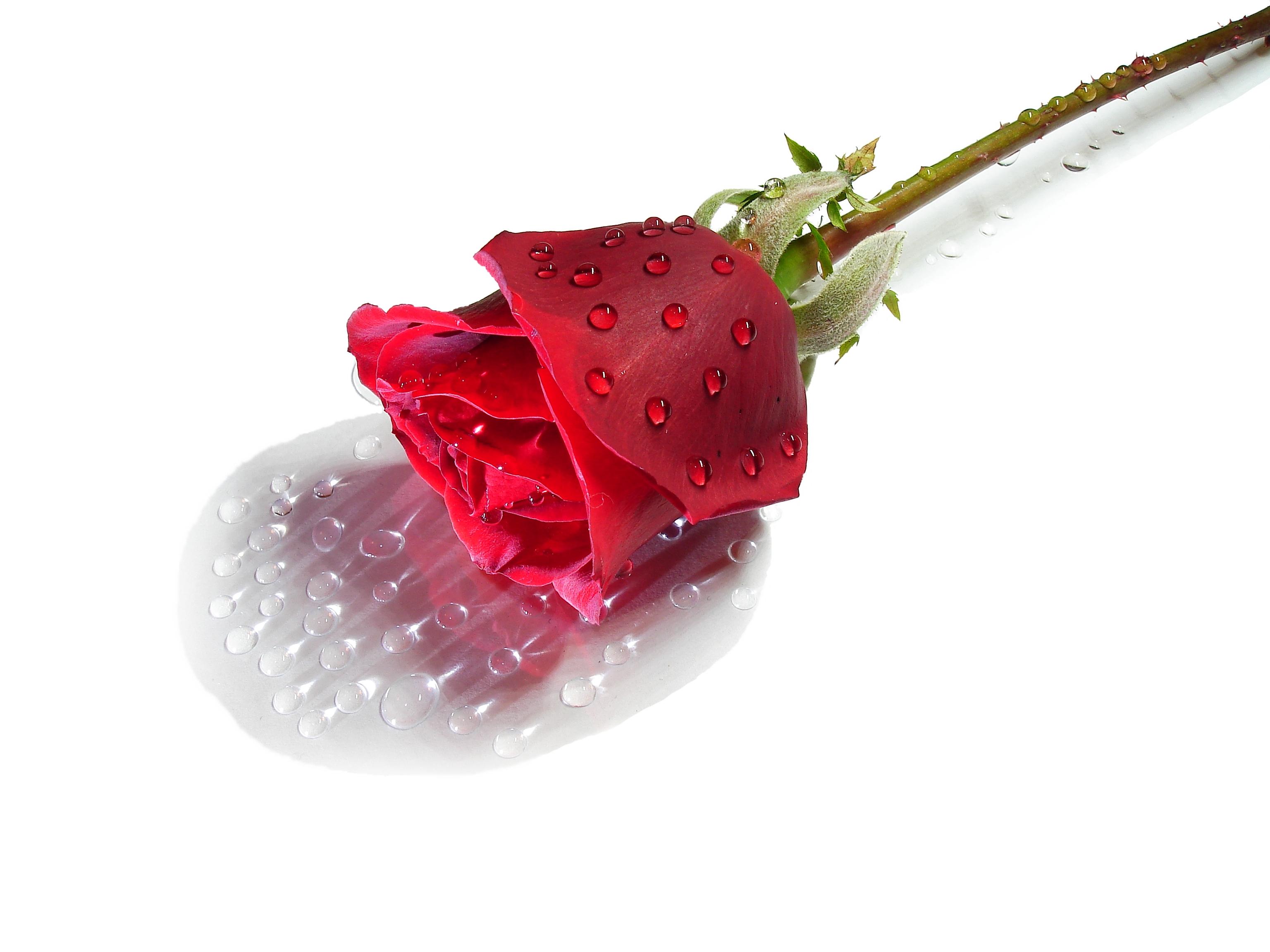 Sfondi Leggero Rosso Riflessione Rosa Rossa Sfondo Bianco