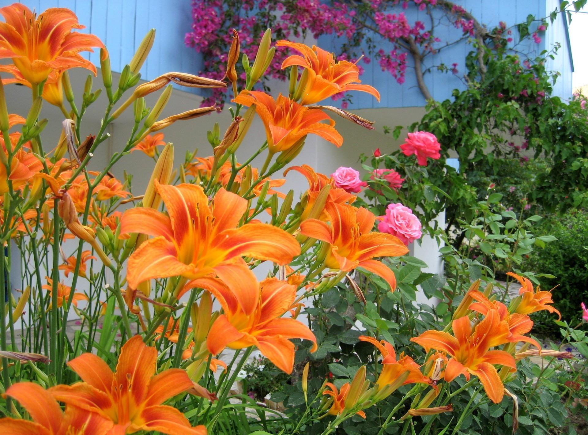 Цветы лилии фото и картинки садовые