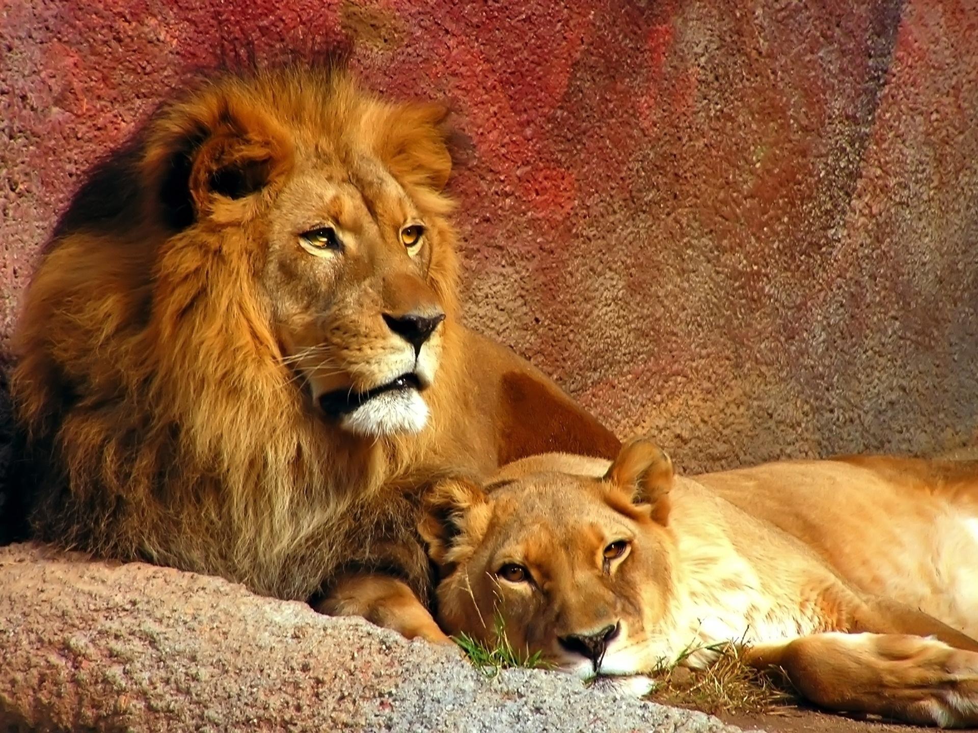 картинки львиные пары всего