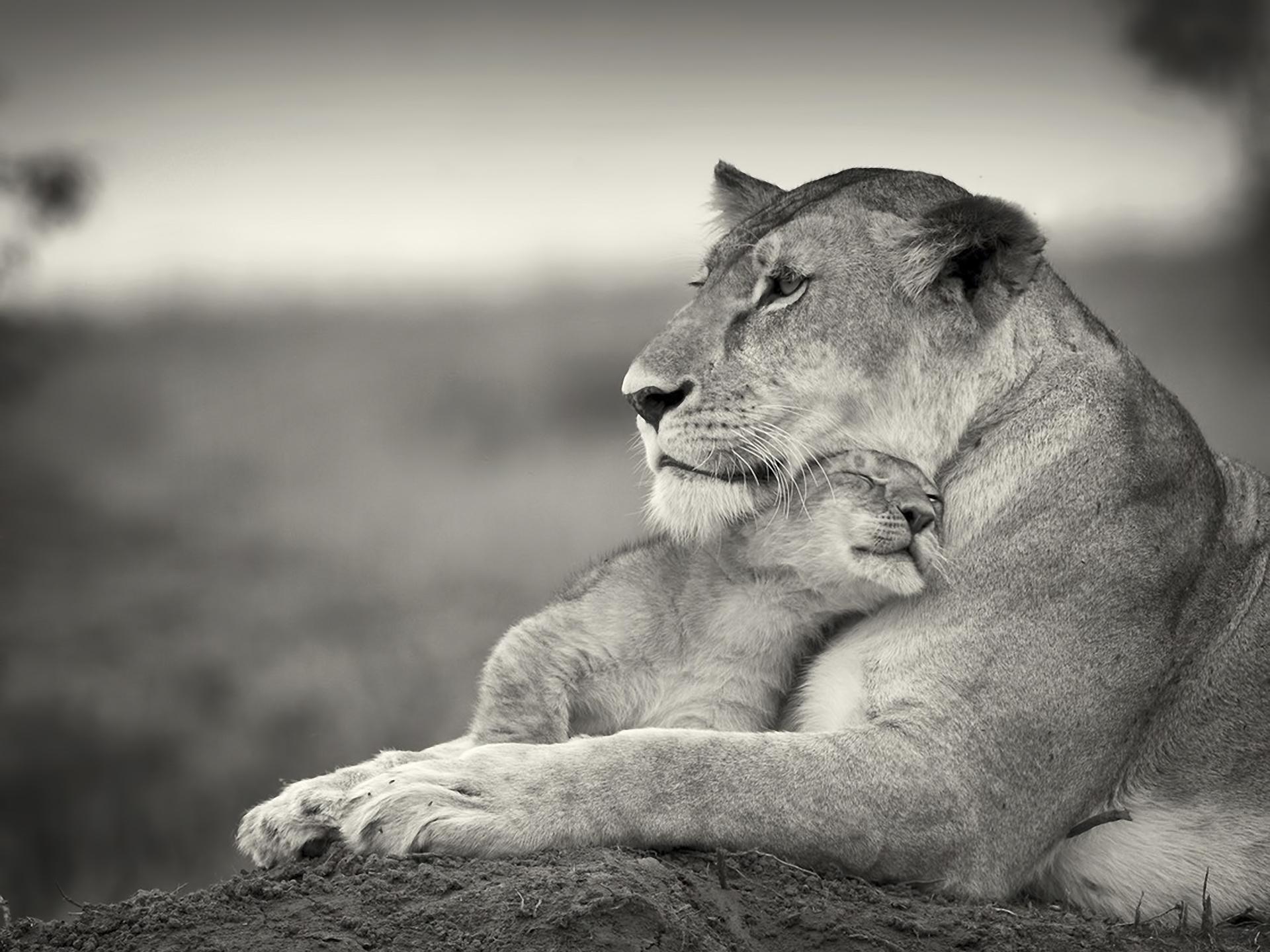 Hintergrundbilder Löwe Paar Wolle Cub Schwarz Und Weiß