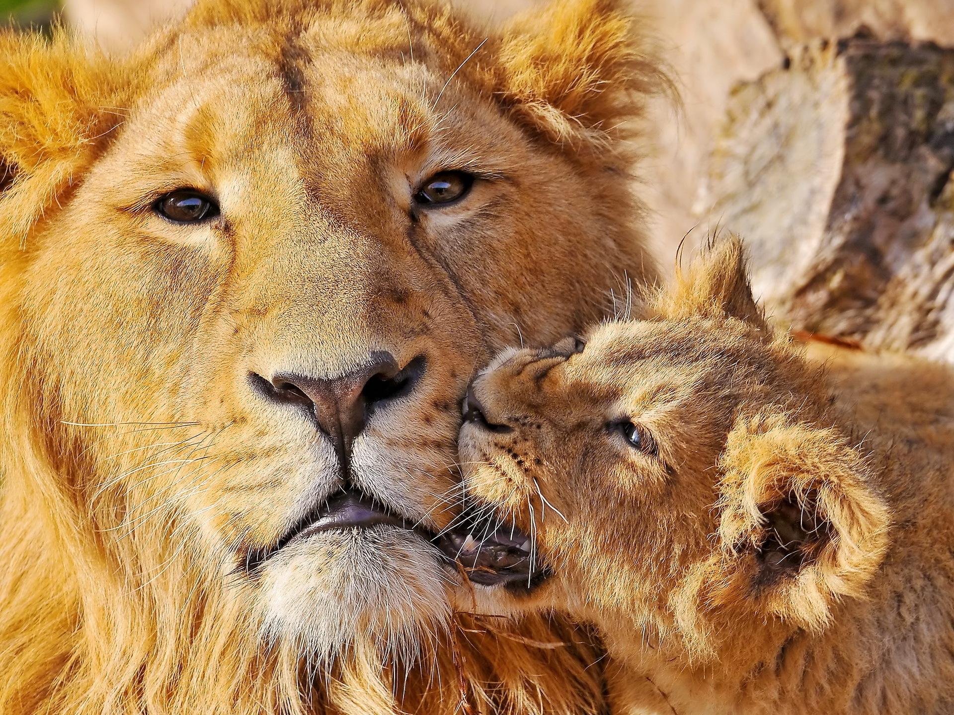 Fond D Ecran Lion Visage Lionceau Espiegle Soins