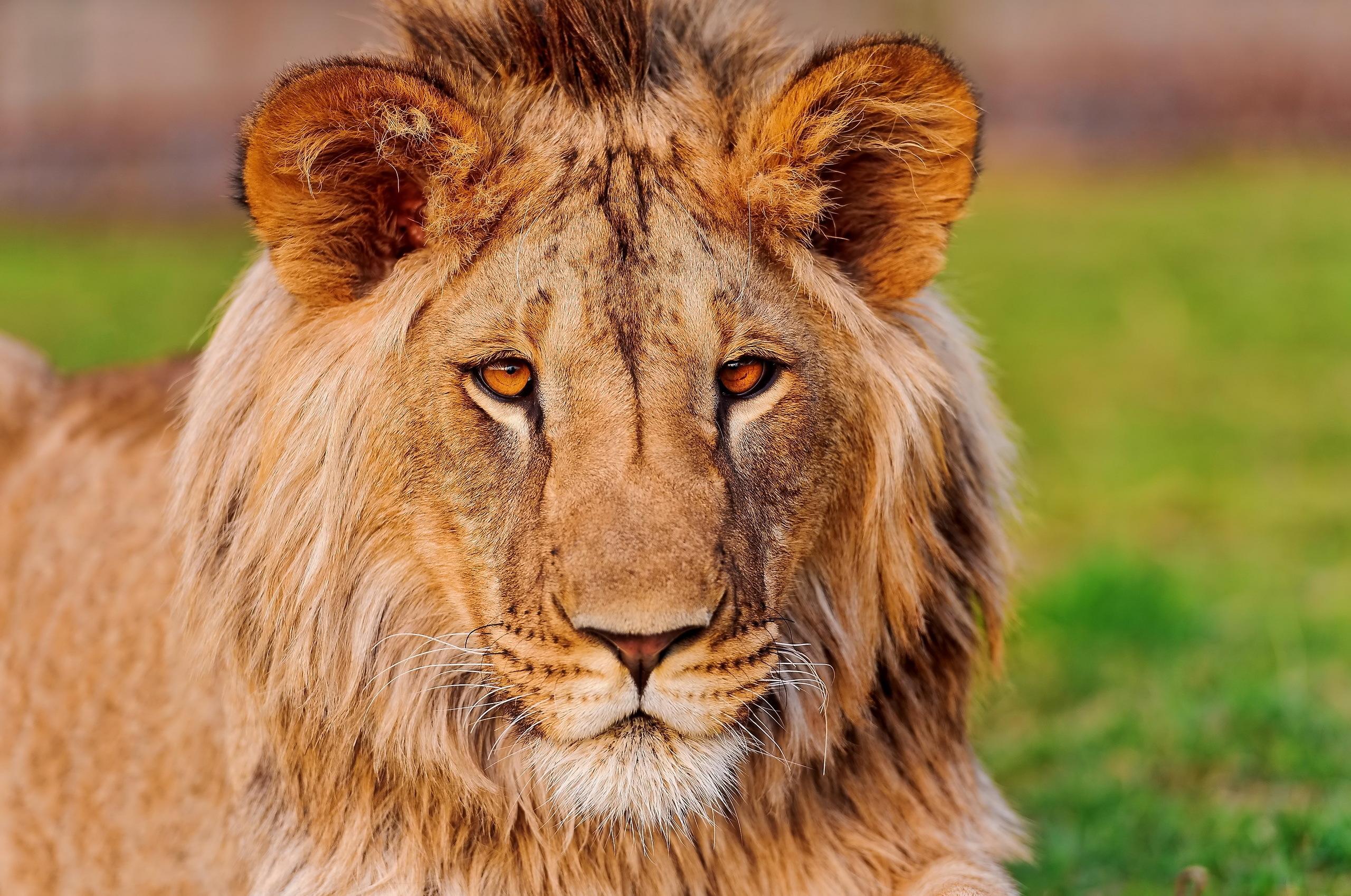 Самая красивая картинка лев