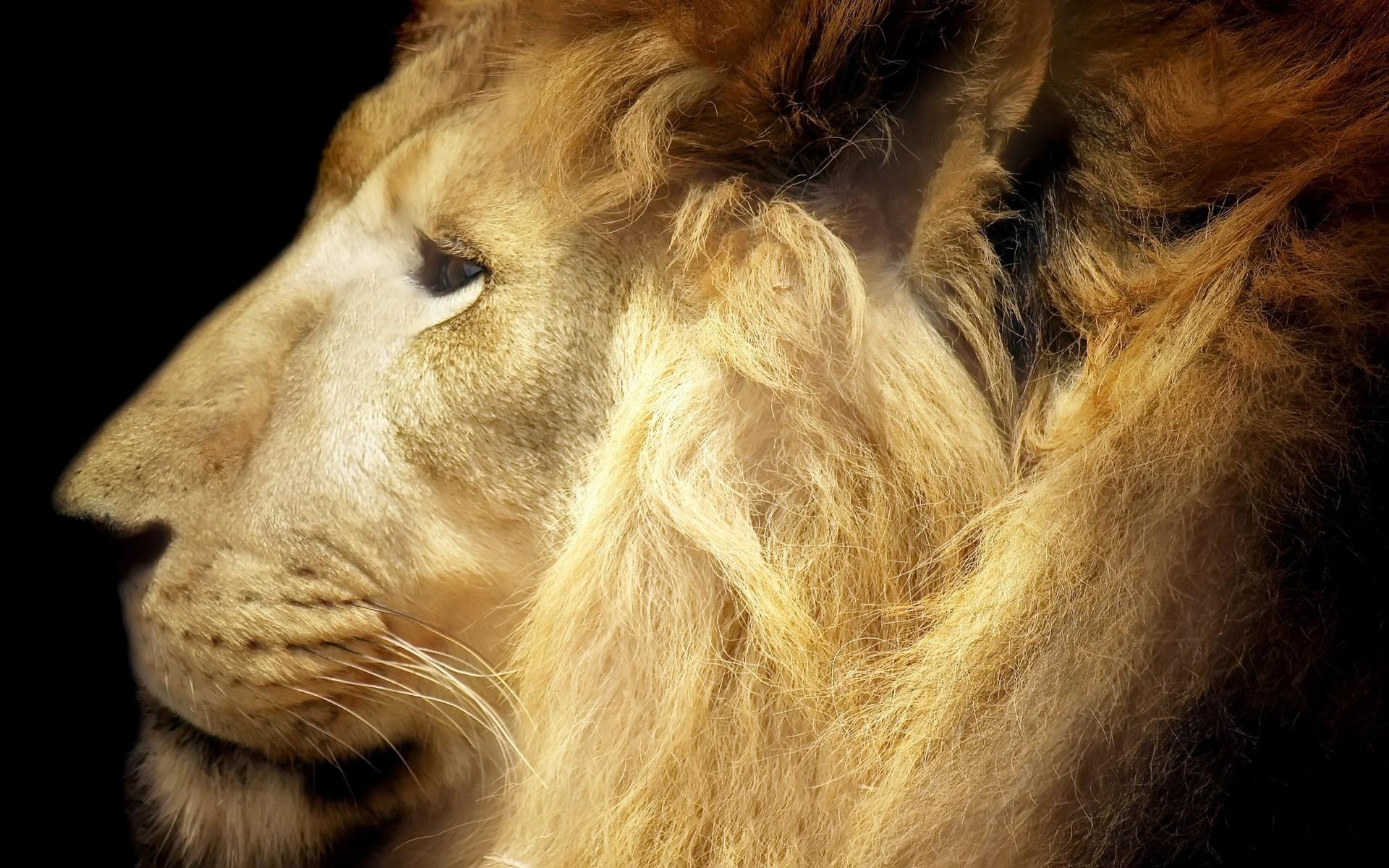 Sfondi leone viso criniera grande gatto predatore for Sfondi leone