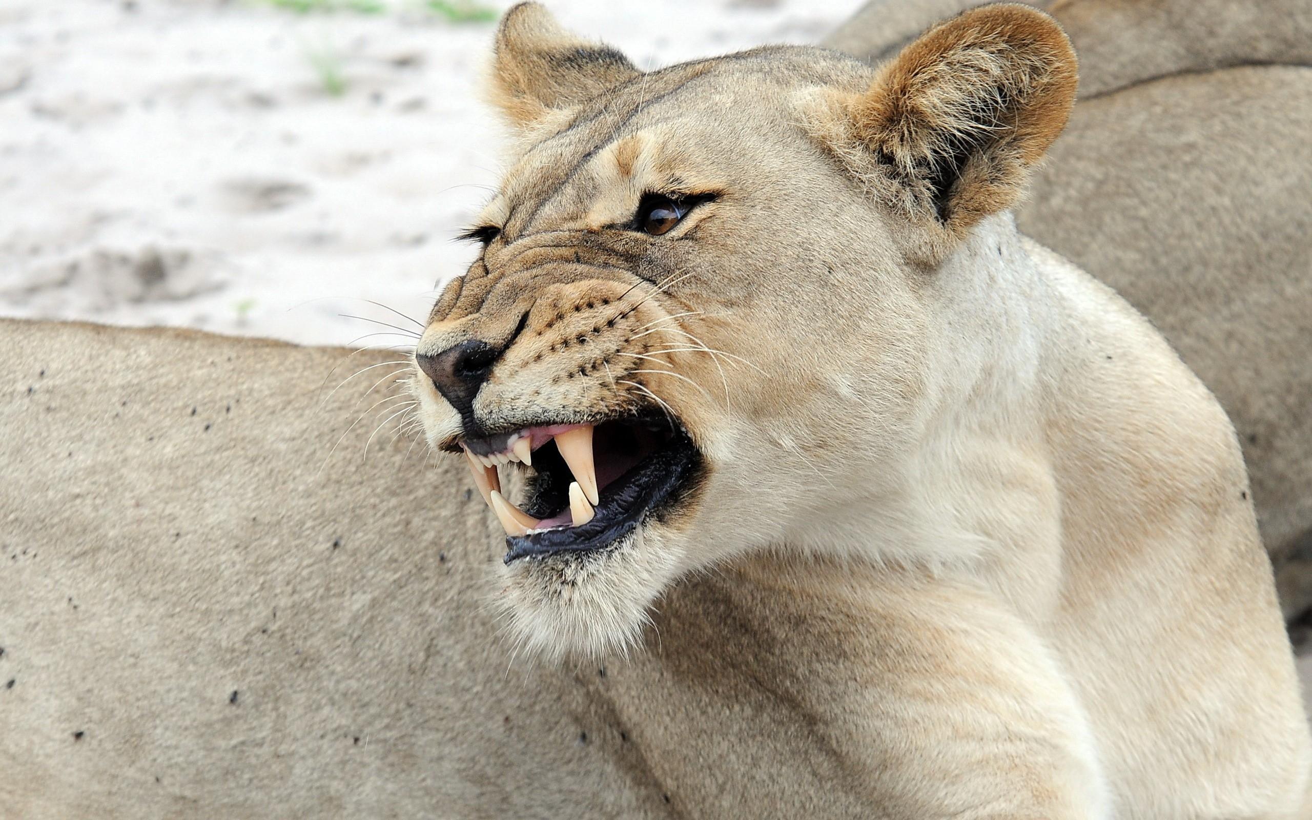 Лет открытка, картинки злости львиц