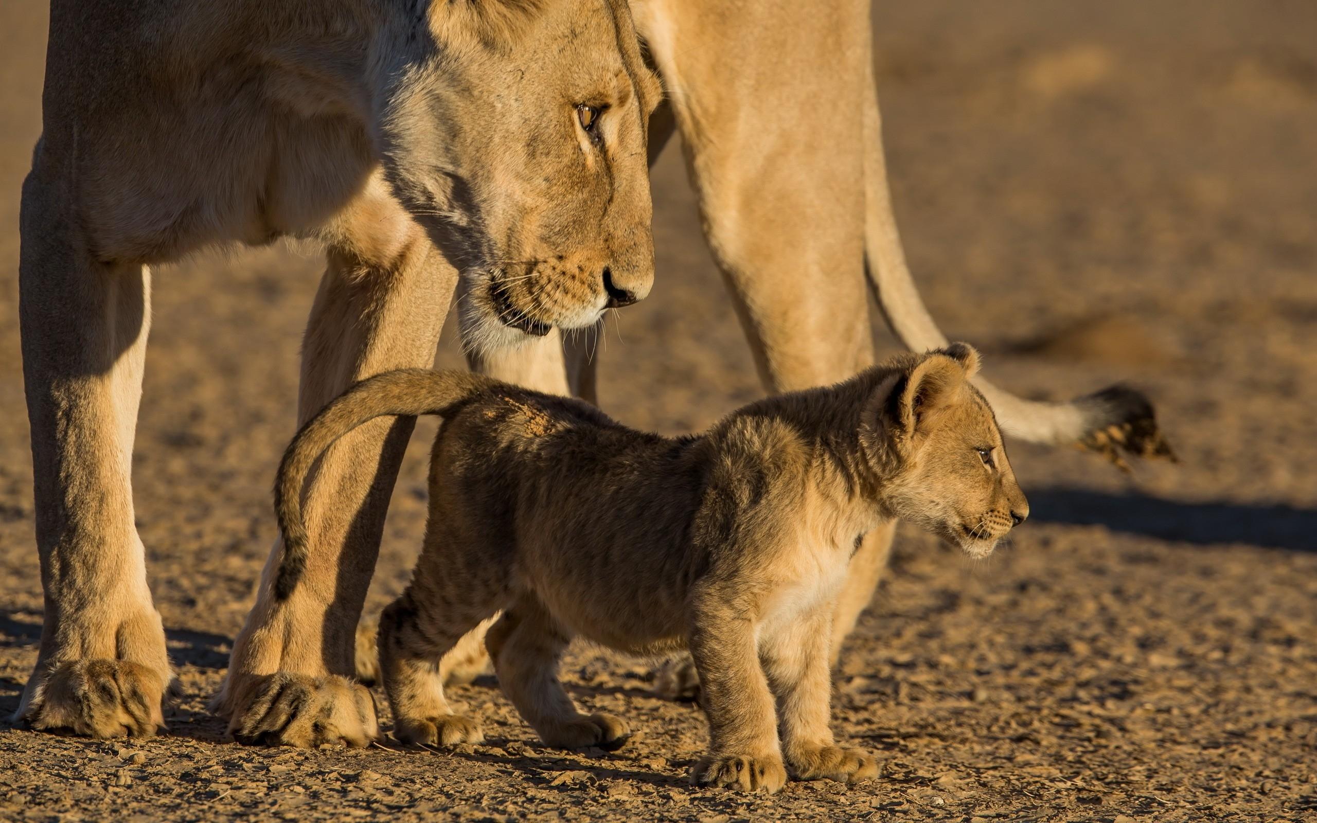 Sfondi leone leonessa cucciolo cura 2560x1600 for Sfondi leone
