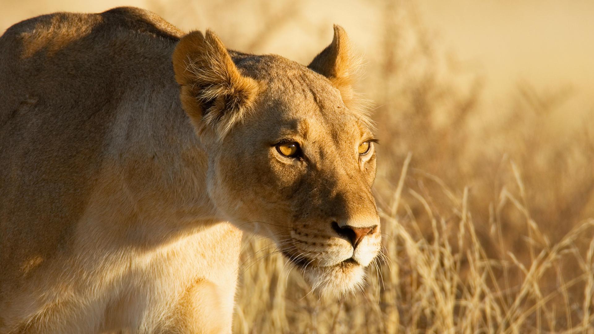 Wallpaper Lion Lioness Grass Hunting 1920x1080 659687 Hd