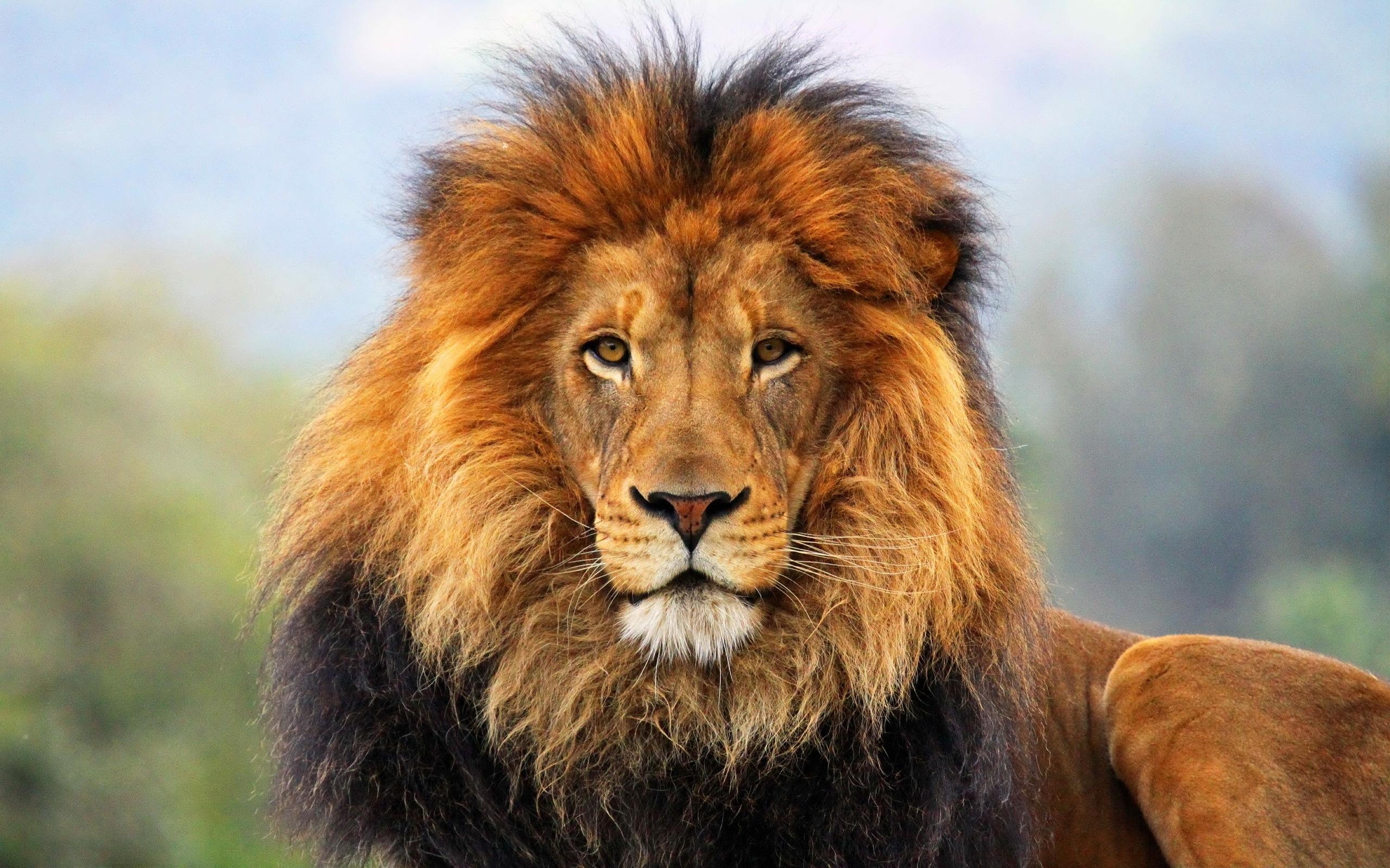 Wallpaper lion mane eyes waiting big cat carnivore king of