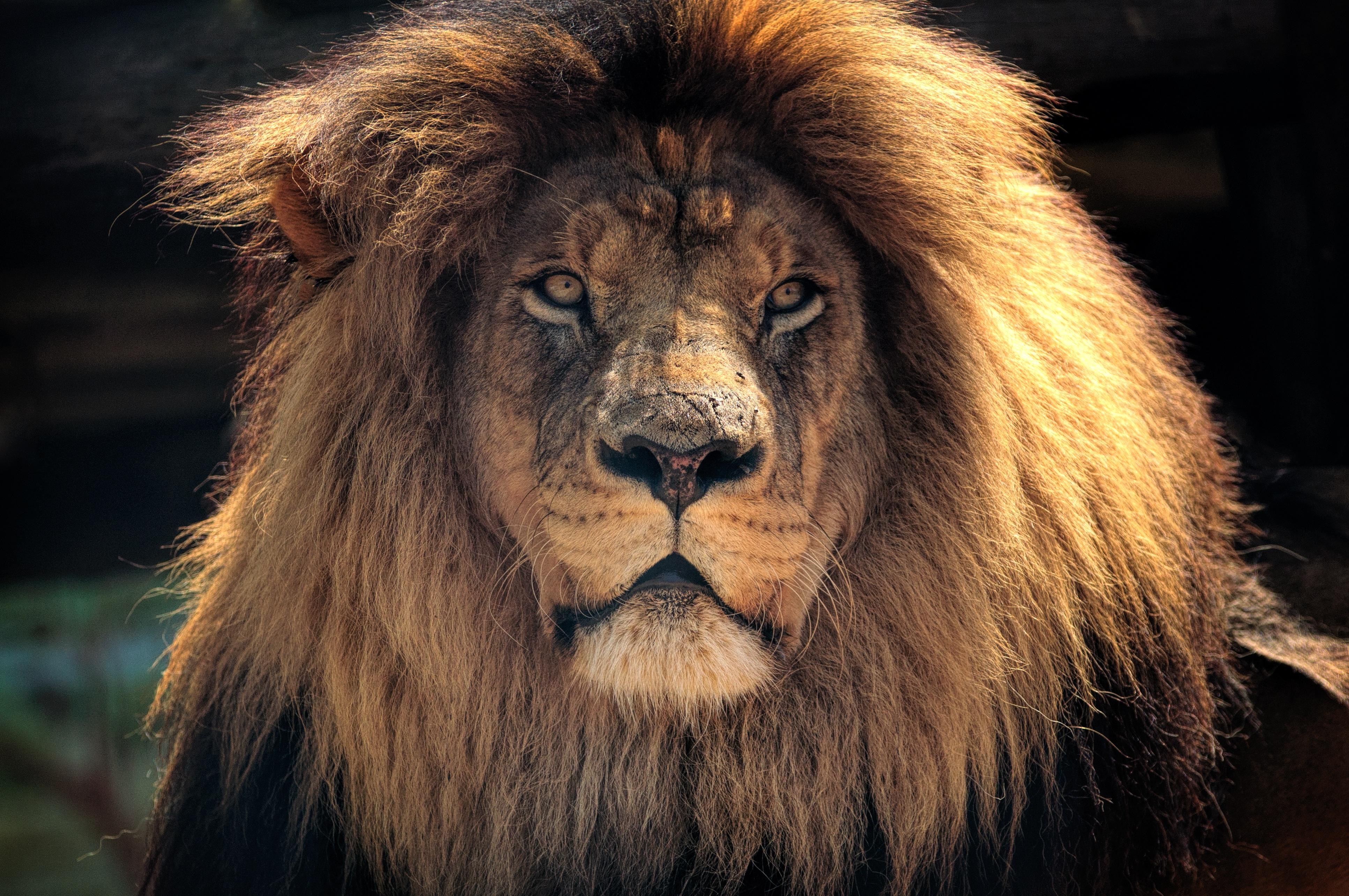 хорошая картинка льва всегда свежие, качество