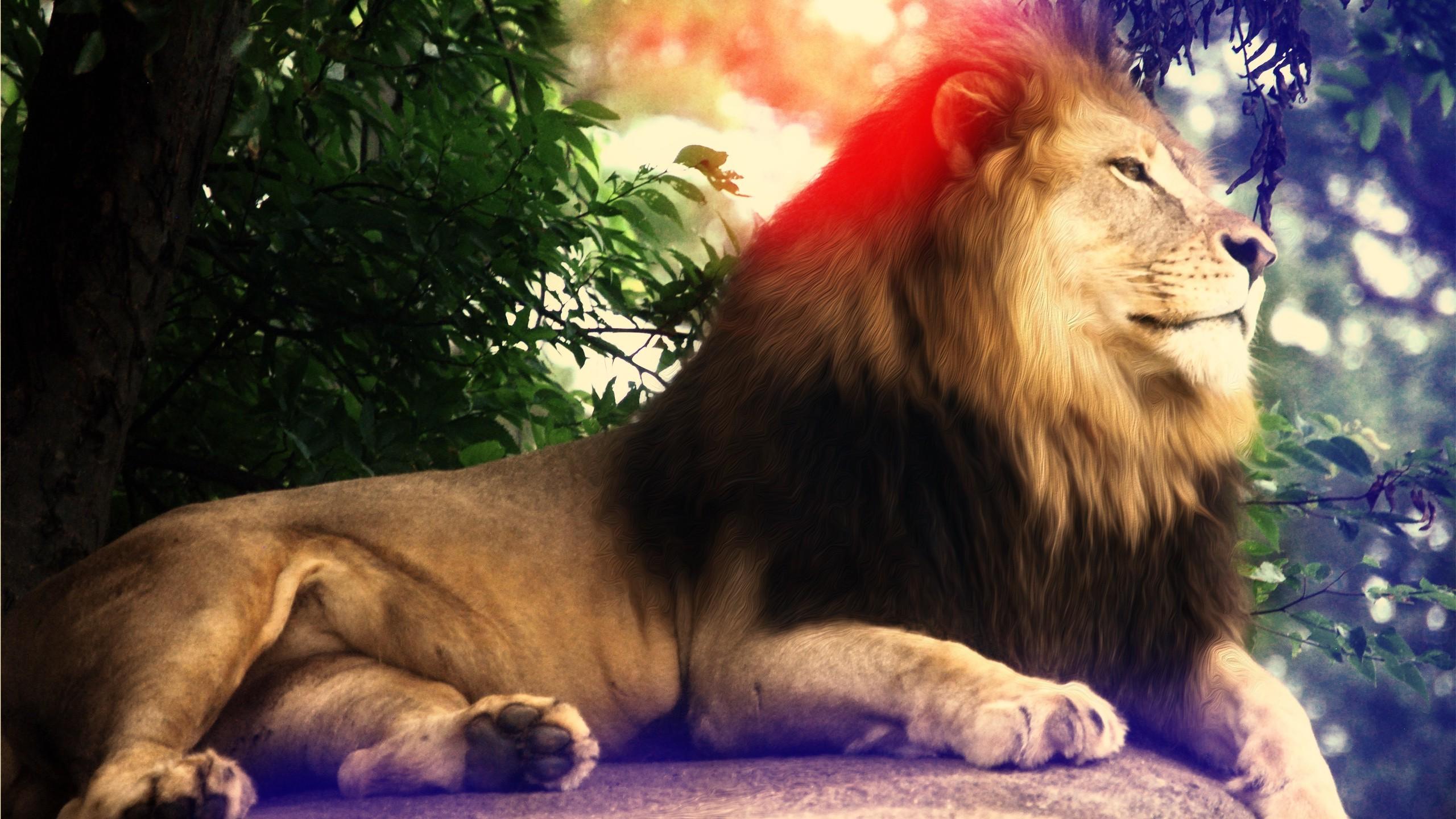 Fond Décran Lion Faune Gros Chats Zoo 2560x1440 Px
