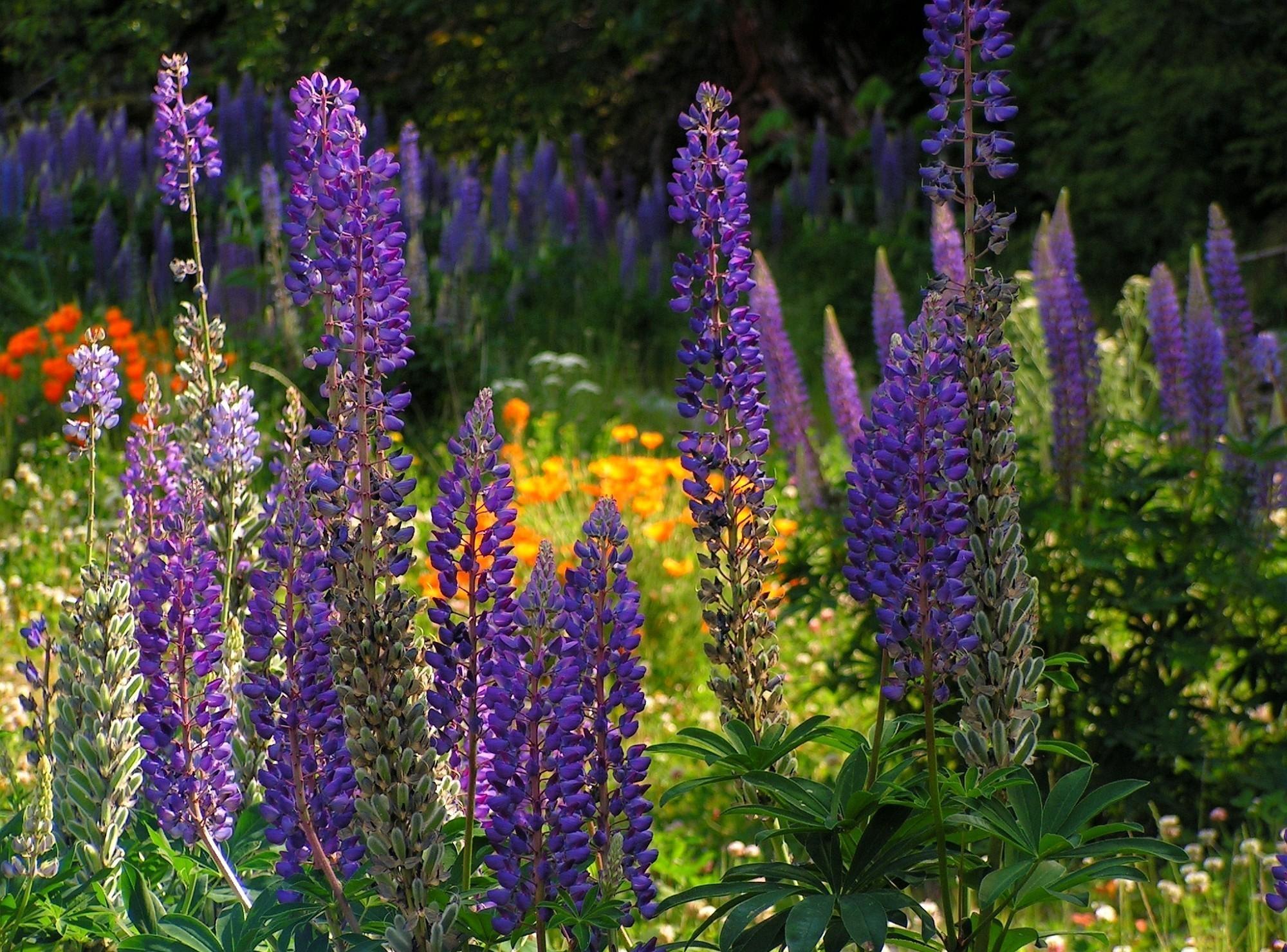 Высокий цветок с фиолетовыми цветами