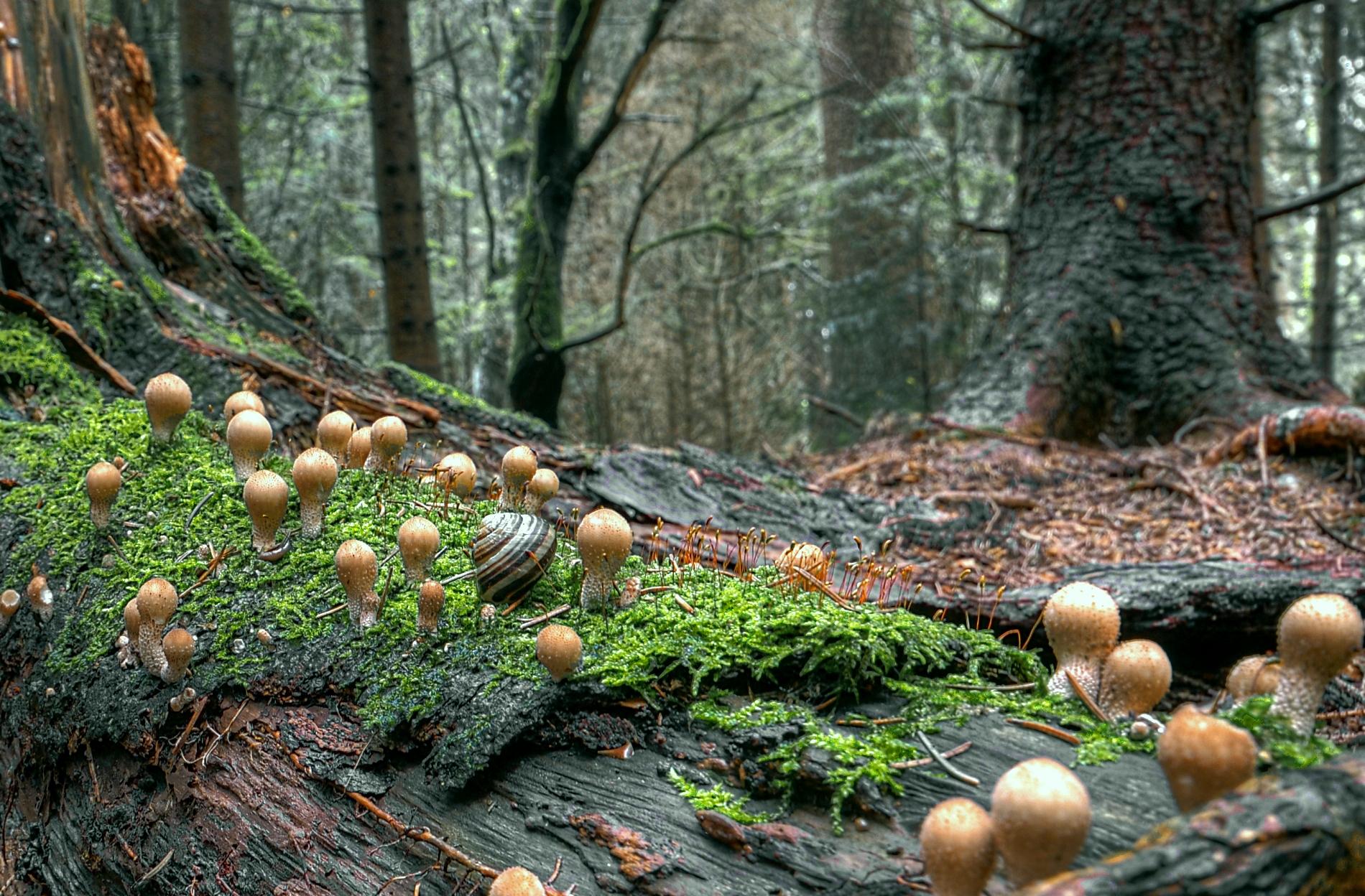 искать грибы в ельнике фото называют антрекотом, шотландским