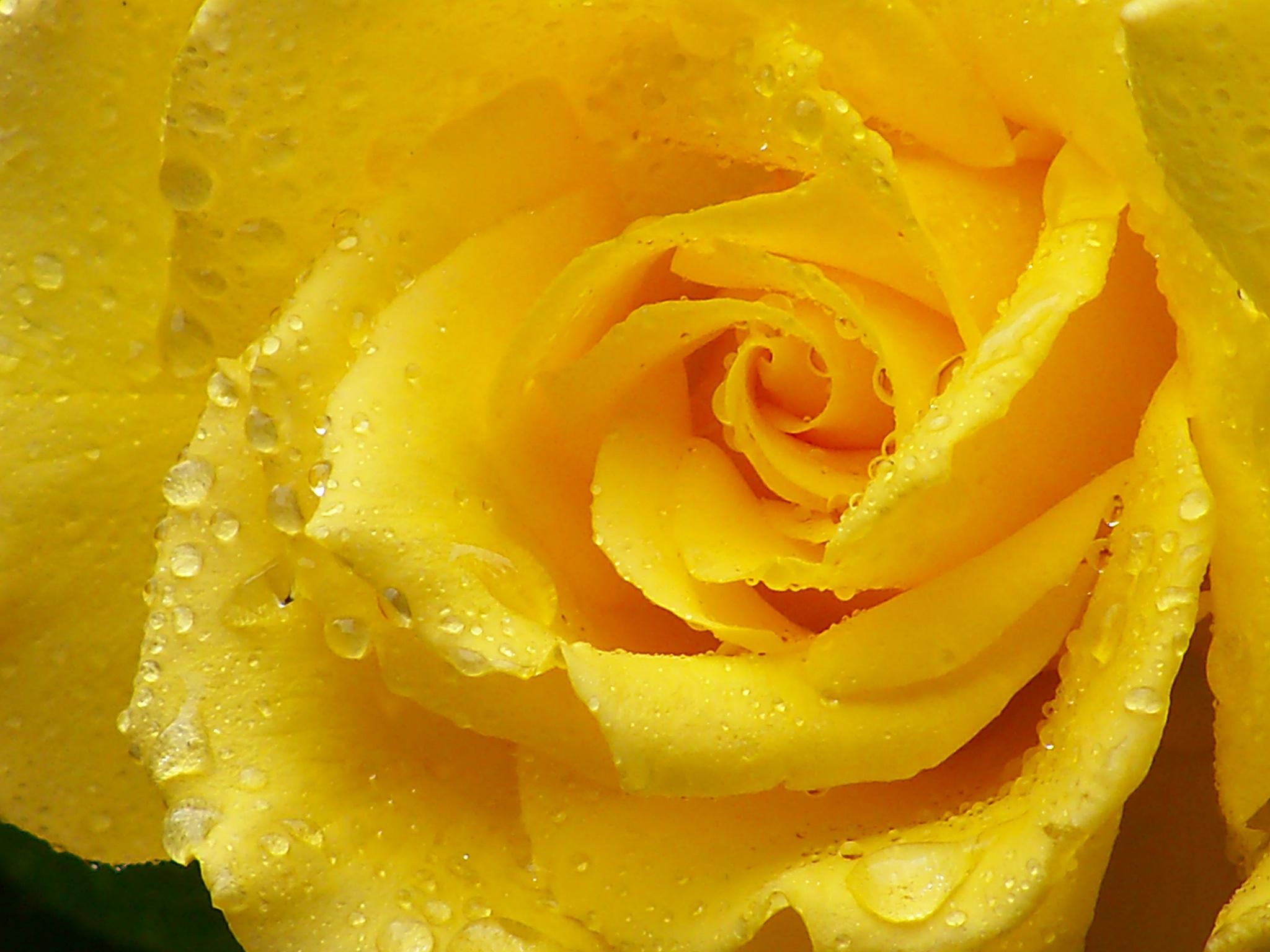 Желтые картинки красивые, днем рождения