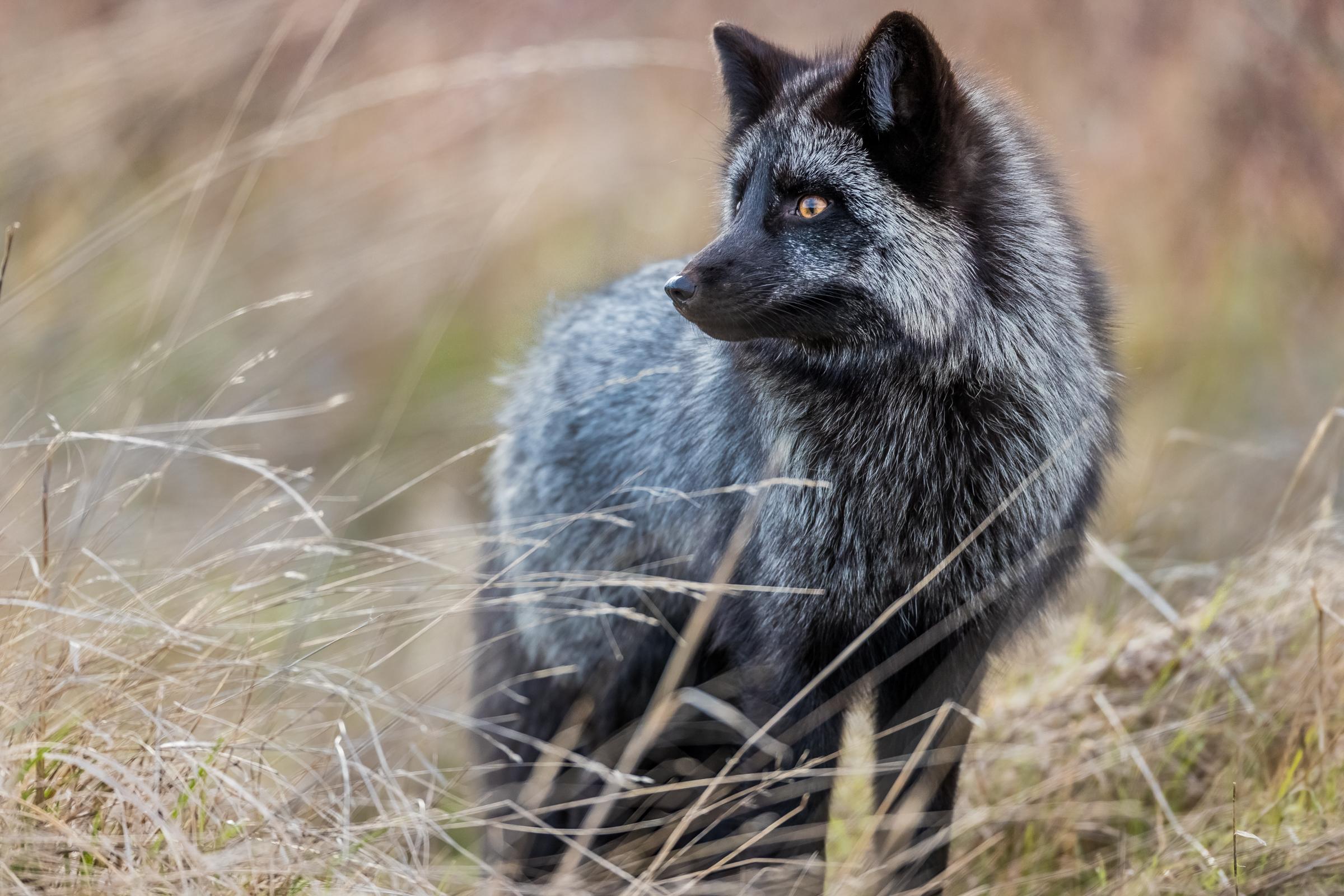 Wallpaper Wildlife Fauna Dog Like Mammal Snout Red Fox