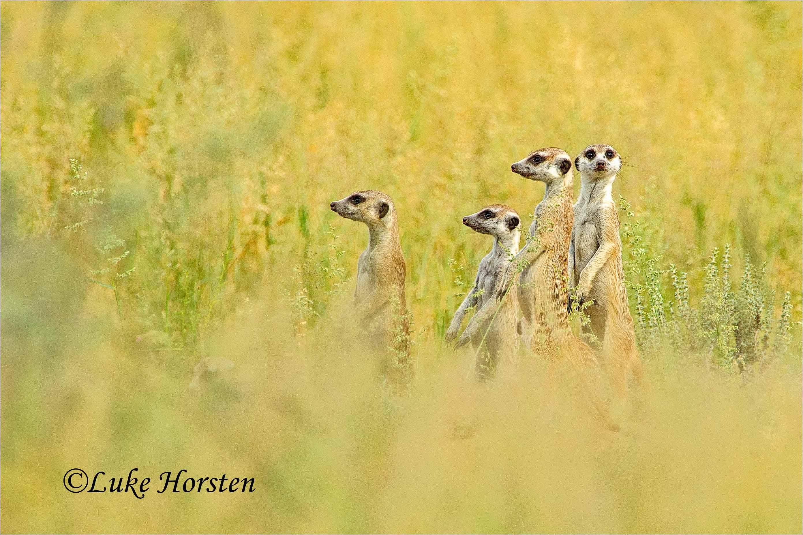 foto de Wallpaper : mammals, kalahari, suricates 2784x1856 - - 949092 - HD ...