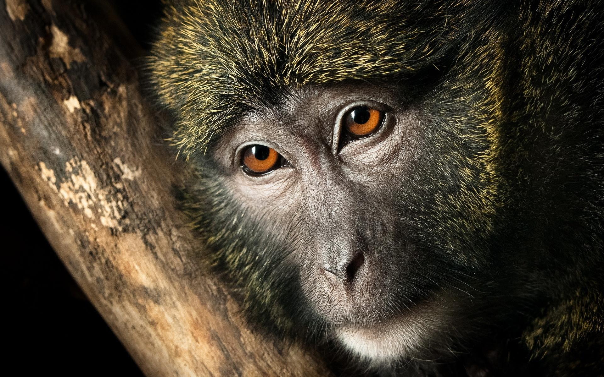 картинки с мордами обезьяны лотоса покрыты