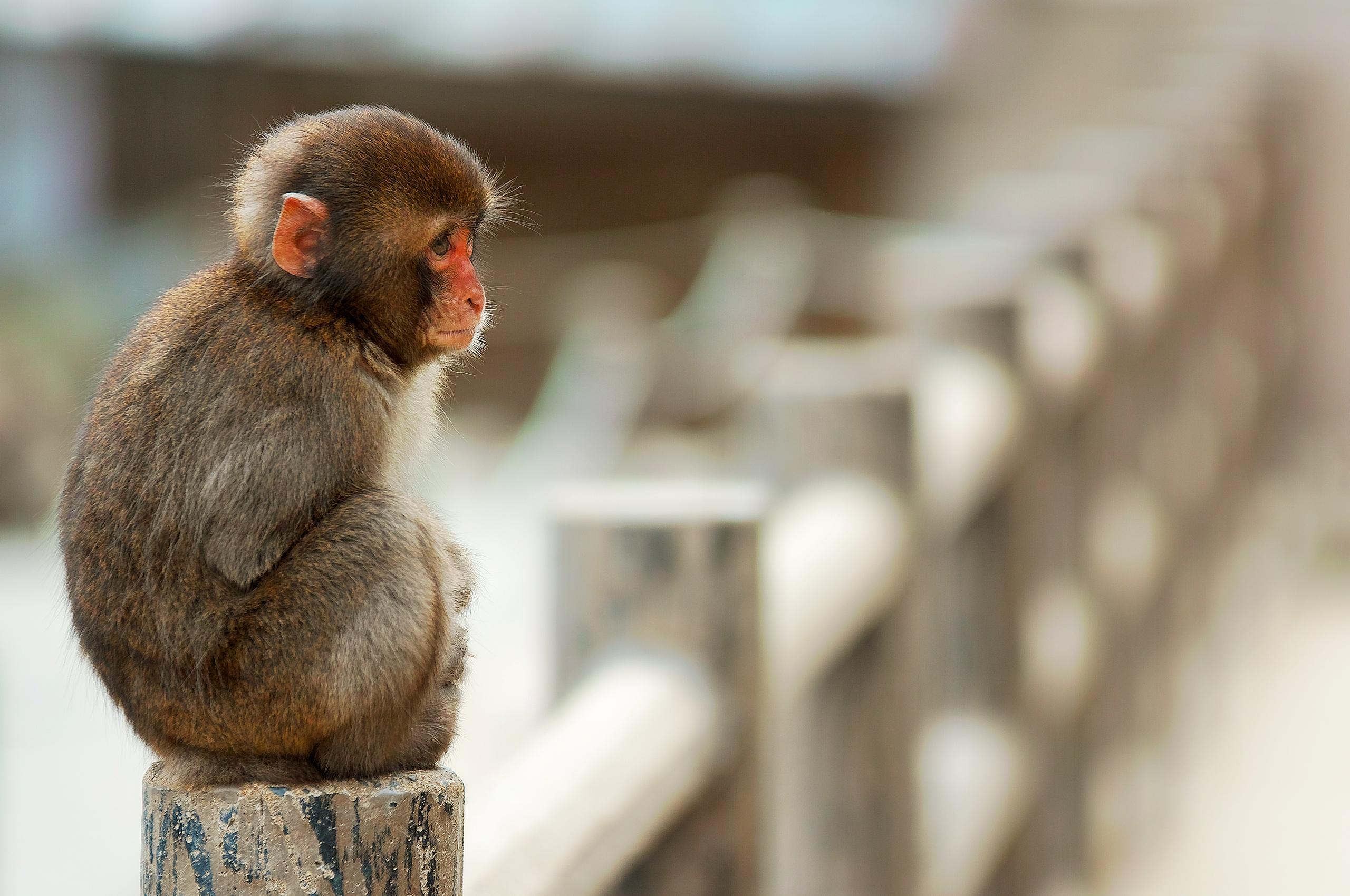 картинки грустная обезьяна ближе пограничному