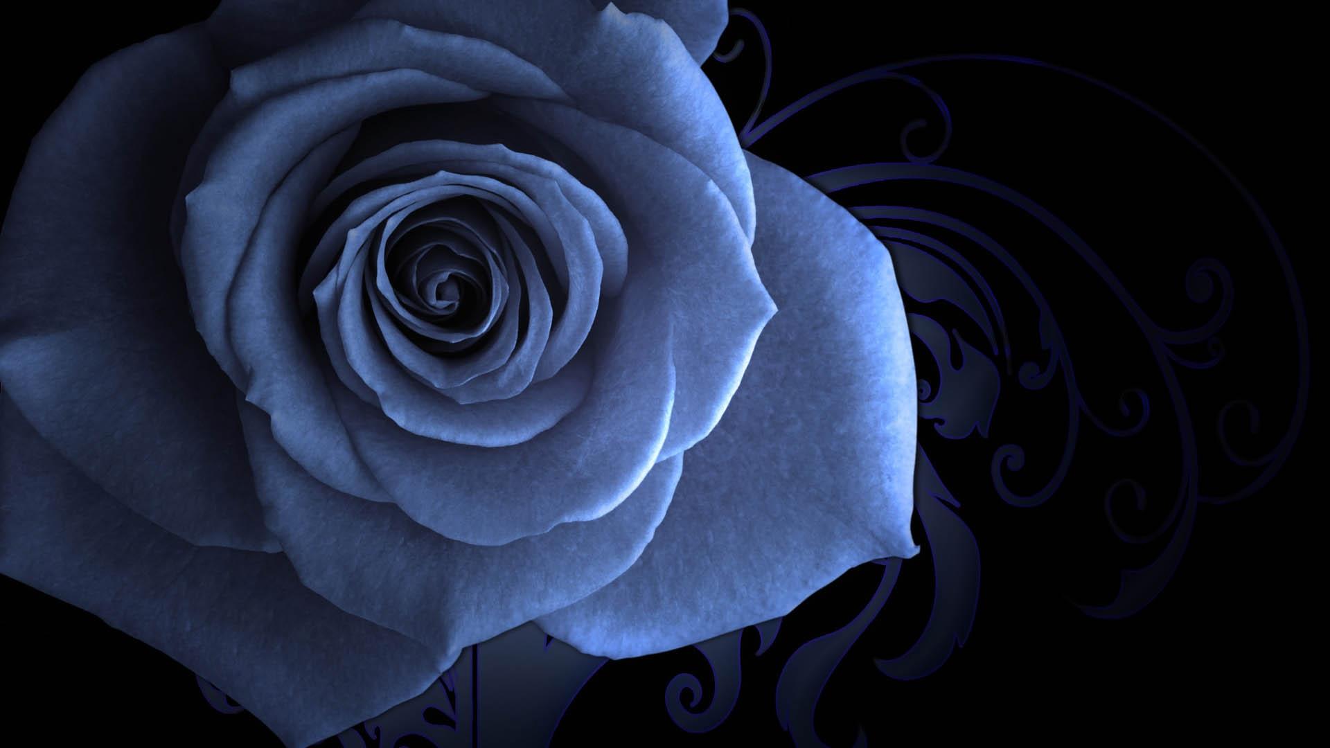 Wallpaper Blue Rose Beautiful Flower Darkness Petal