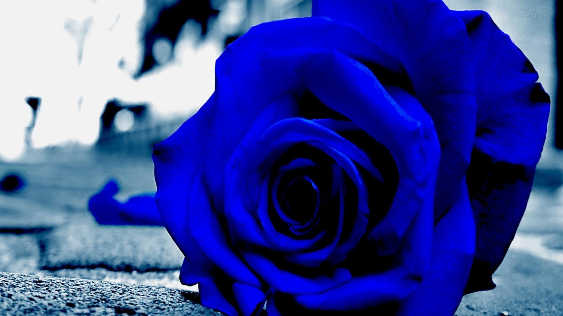 hintergrundbilder einfarbig natur pflanzen fotografie lila blau blaue rose farbe blume. Black Bedroom Furniture Sets. Home Design Ideas
