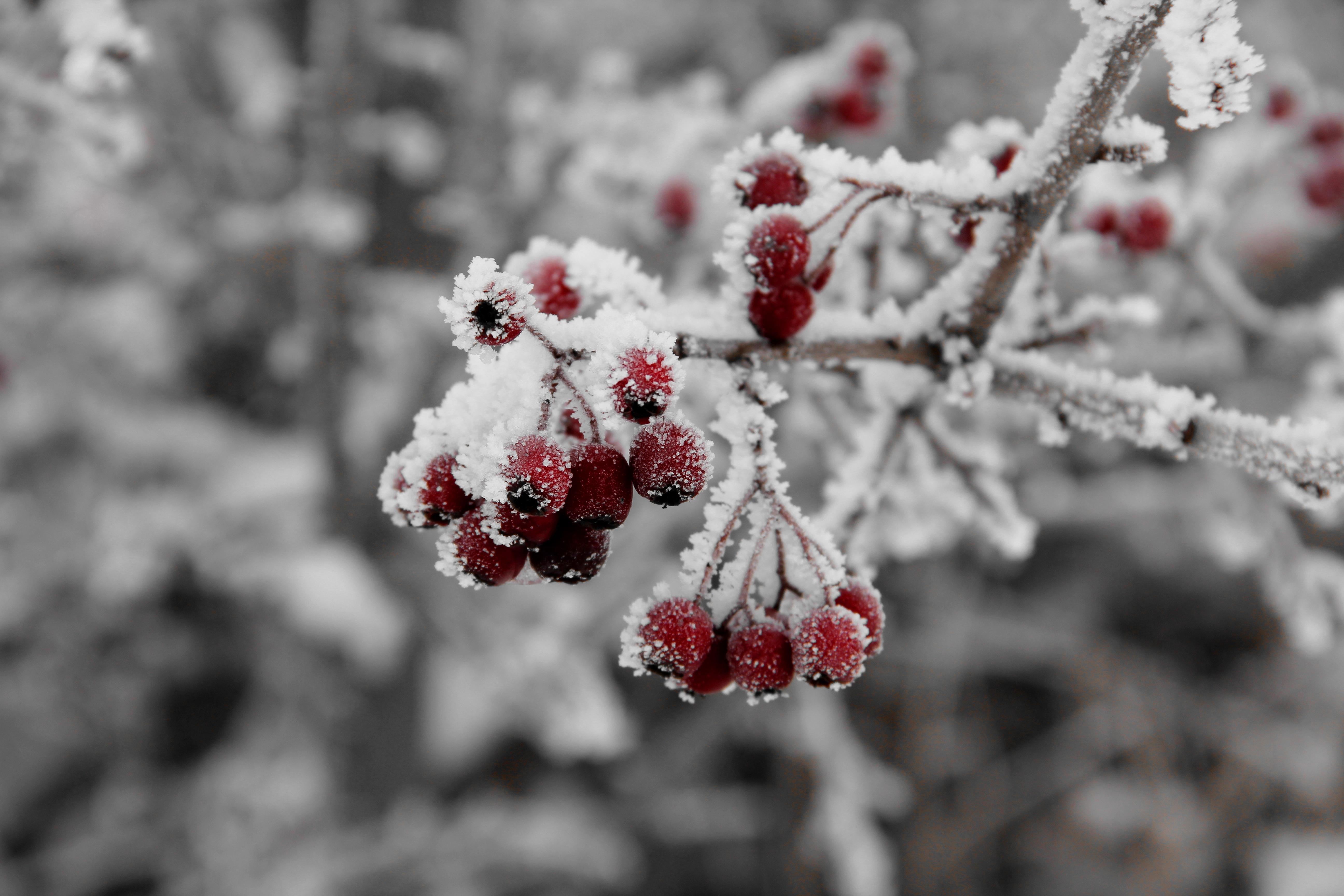 рябина в снегу фото высокое разрешение по-настоящему стильное