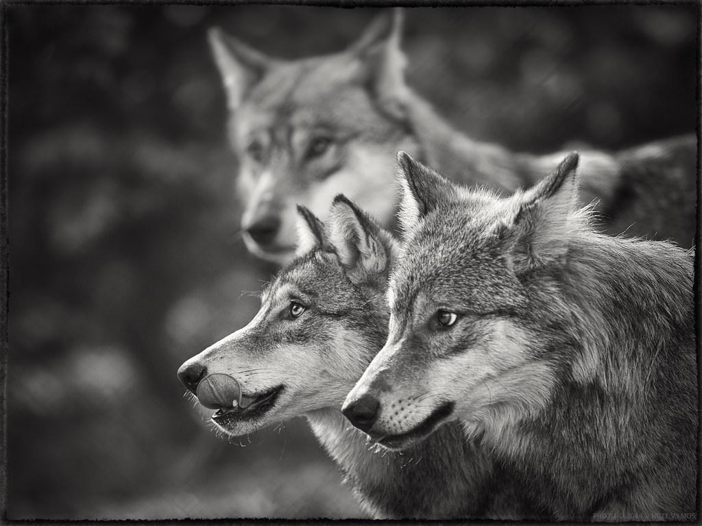 берега черно белое фото волка свадебной