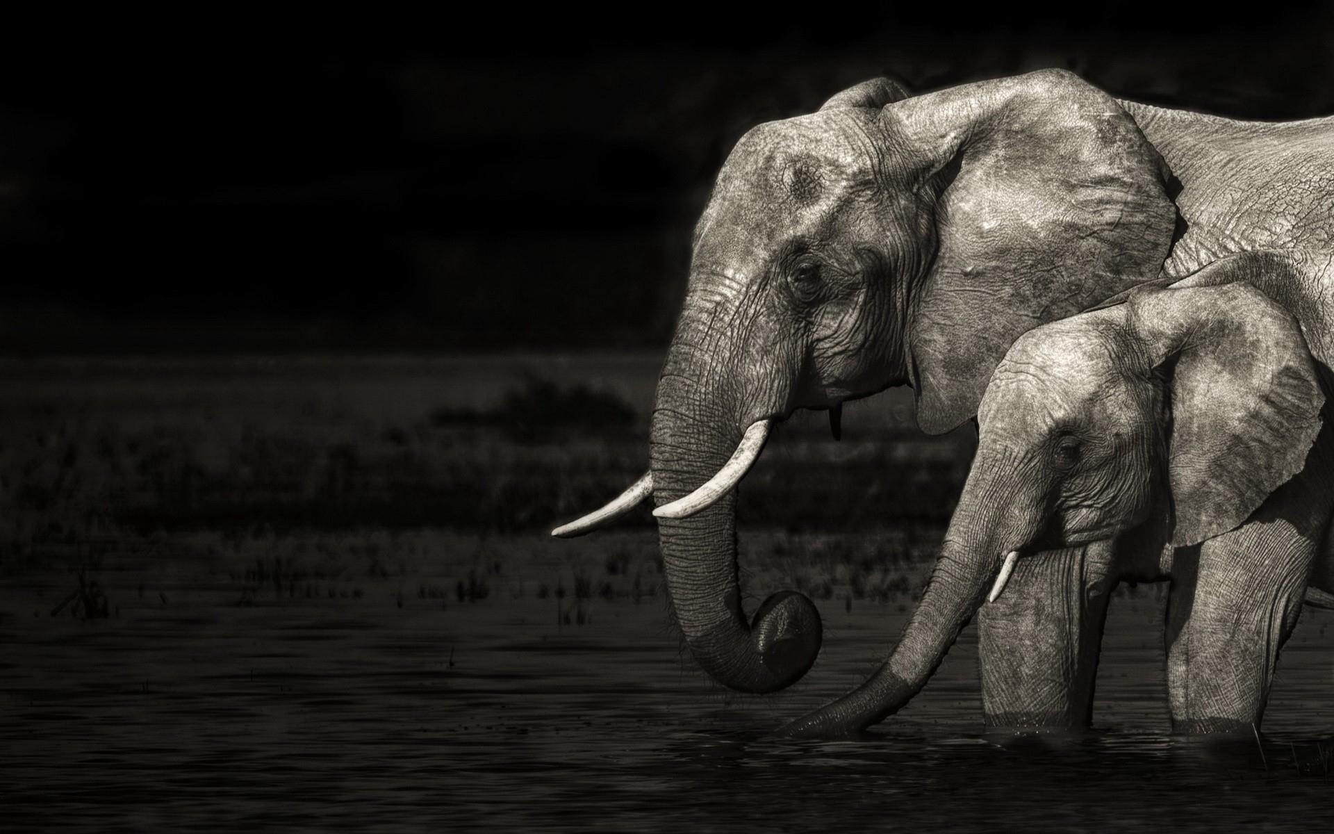 Fond D Ecran Monochrome Eau Faune Bebe Elephant