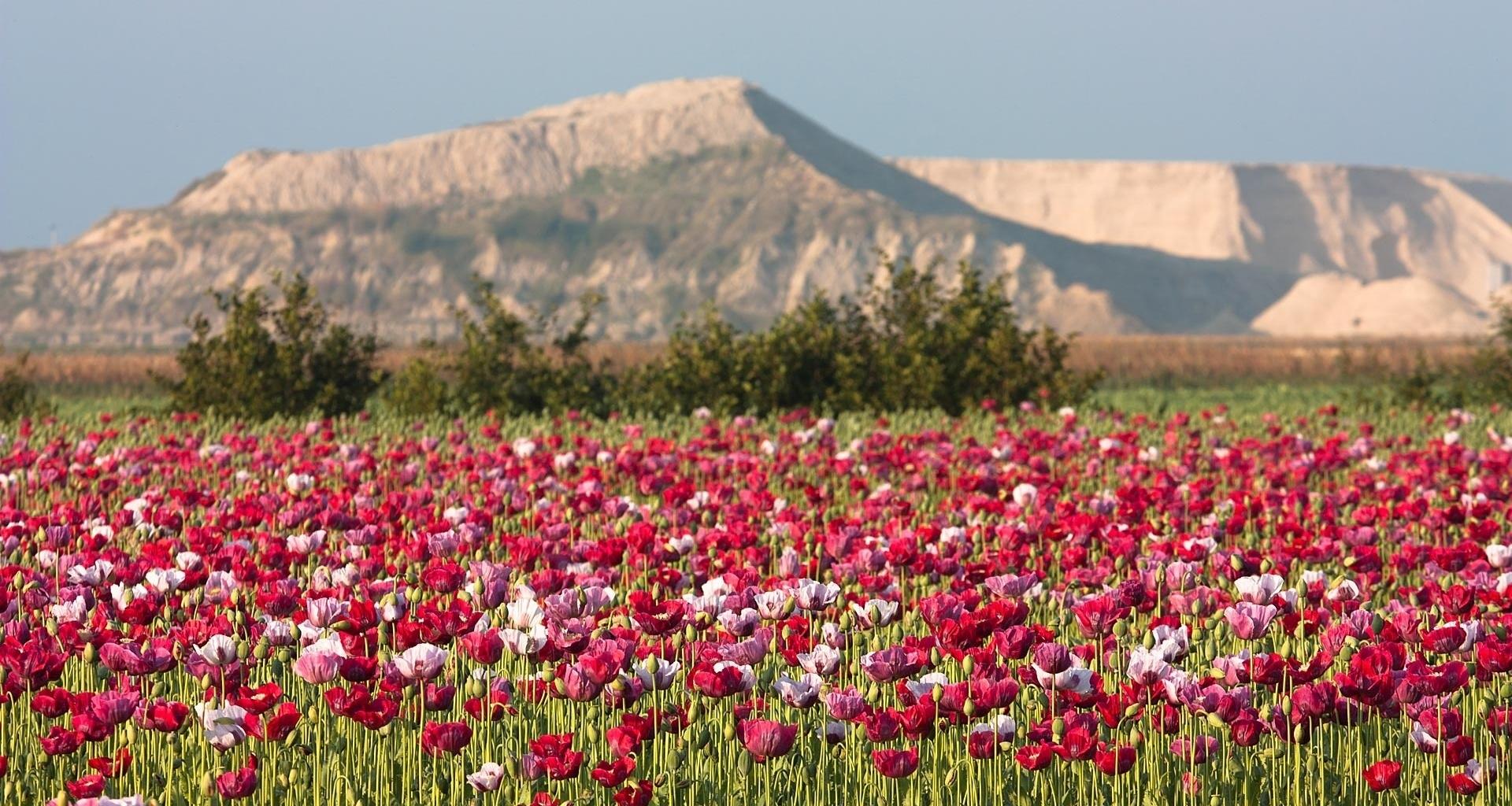 этой неделе полевые цветы таджикистана фото для здорового развития