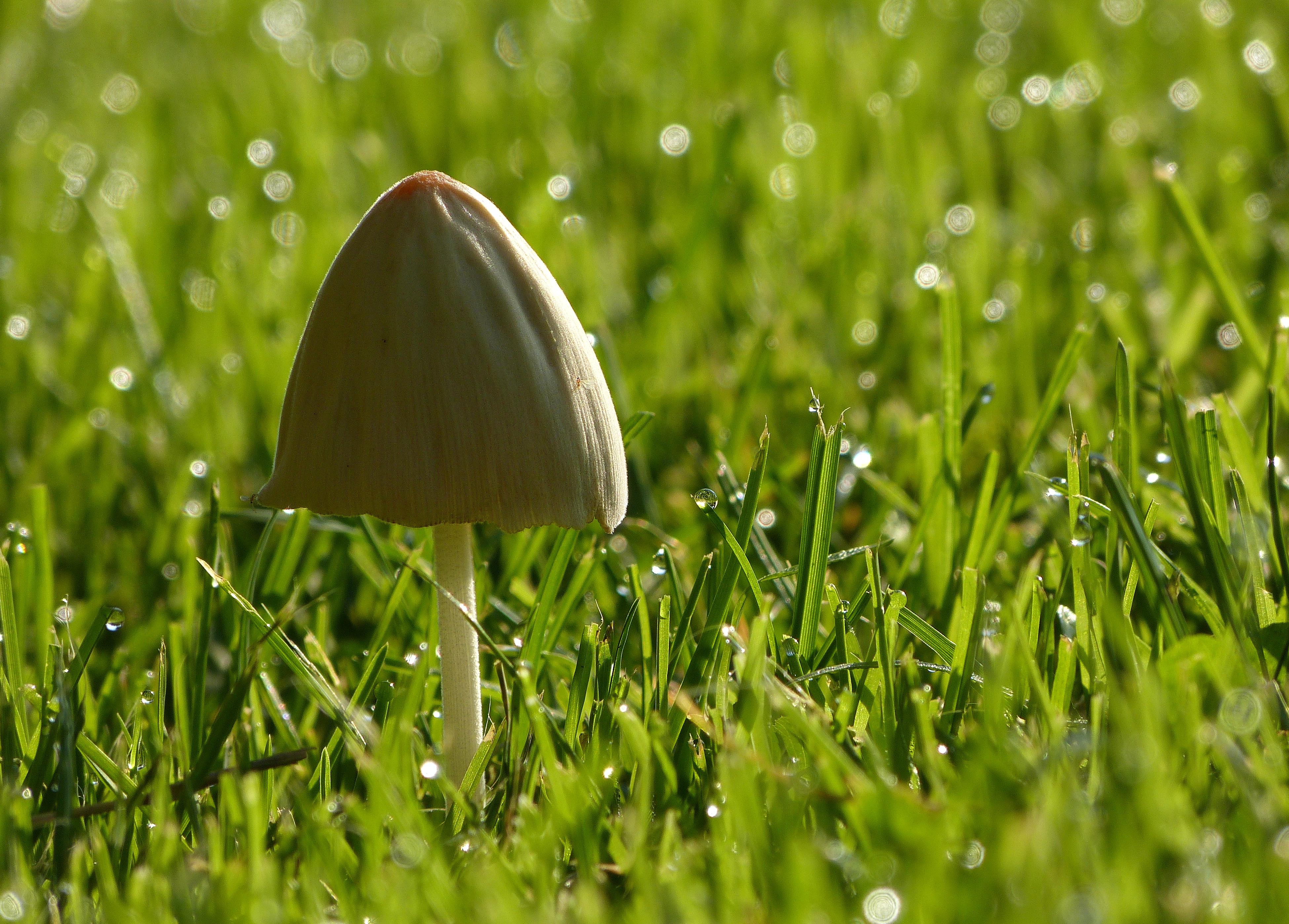 Wallpaper Mushroom Garden Droplets Drops Fungi Dew Toadstool Tuin Paddenstoel Dauw Paddestoel Druppels Panasonicdmcfz150 1170667 3900x2796 929121 Hd Wallpapers Wallhere