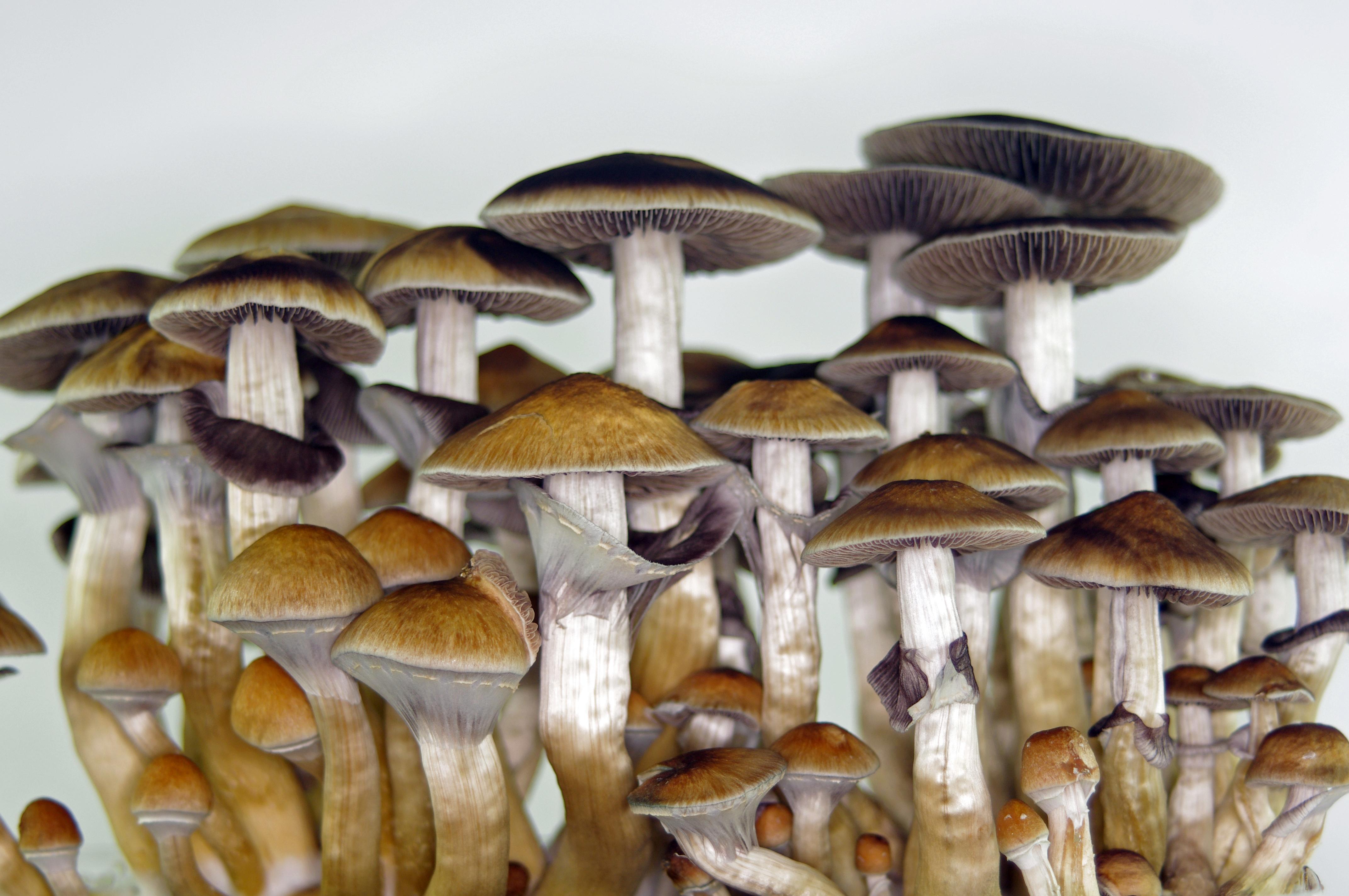 Hintergrundbilder : Pilze, psychedelisch, Magicmushrooms