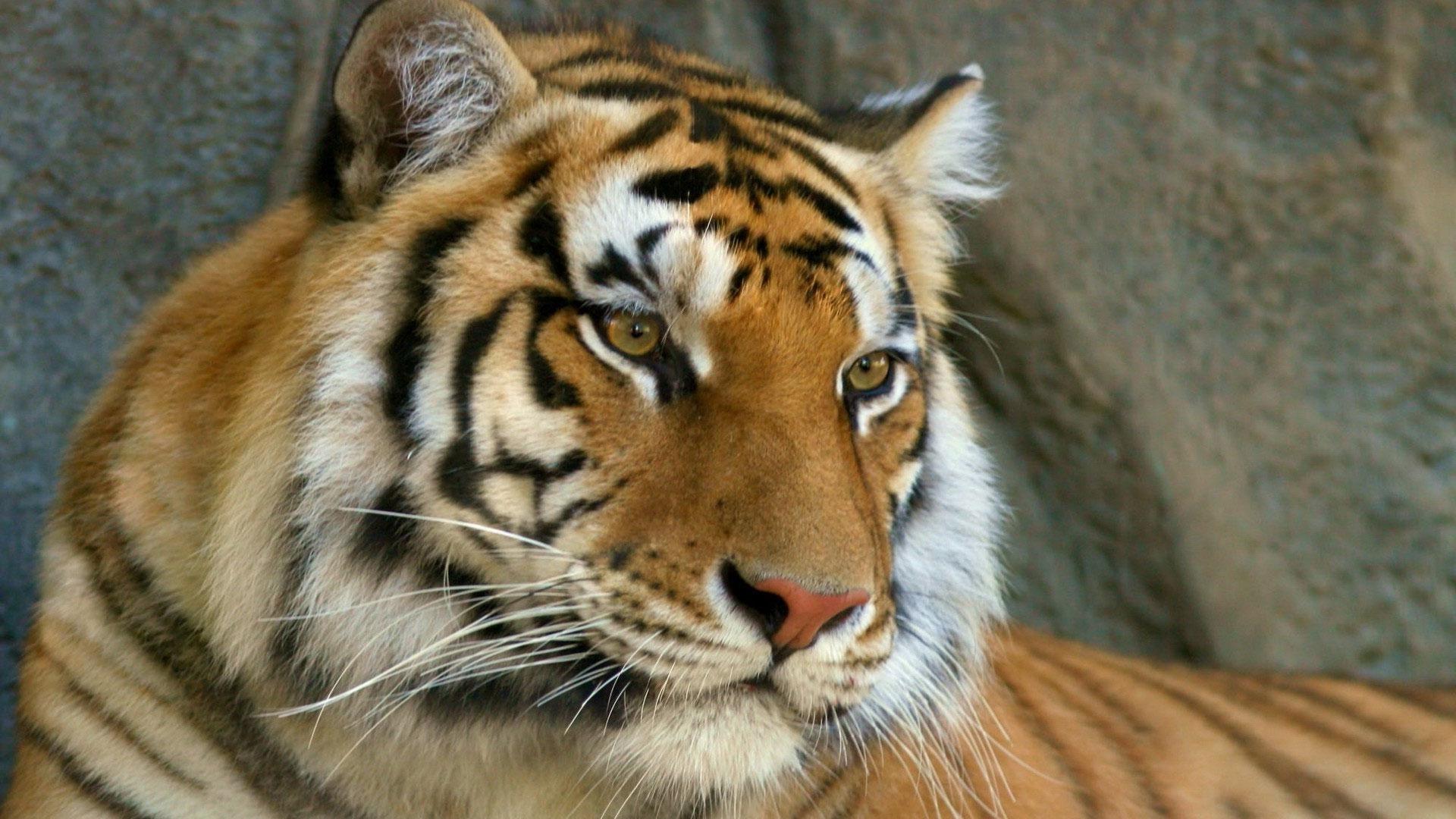 Wallpaper Mustache Face Tiger Eyes Predator 1920x1080