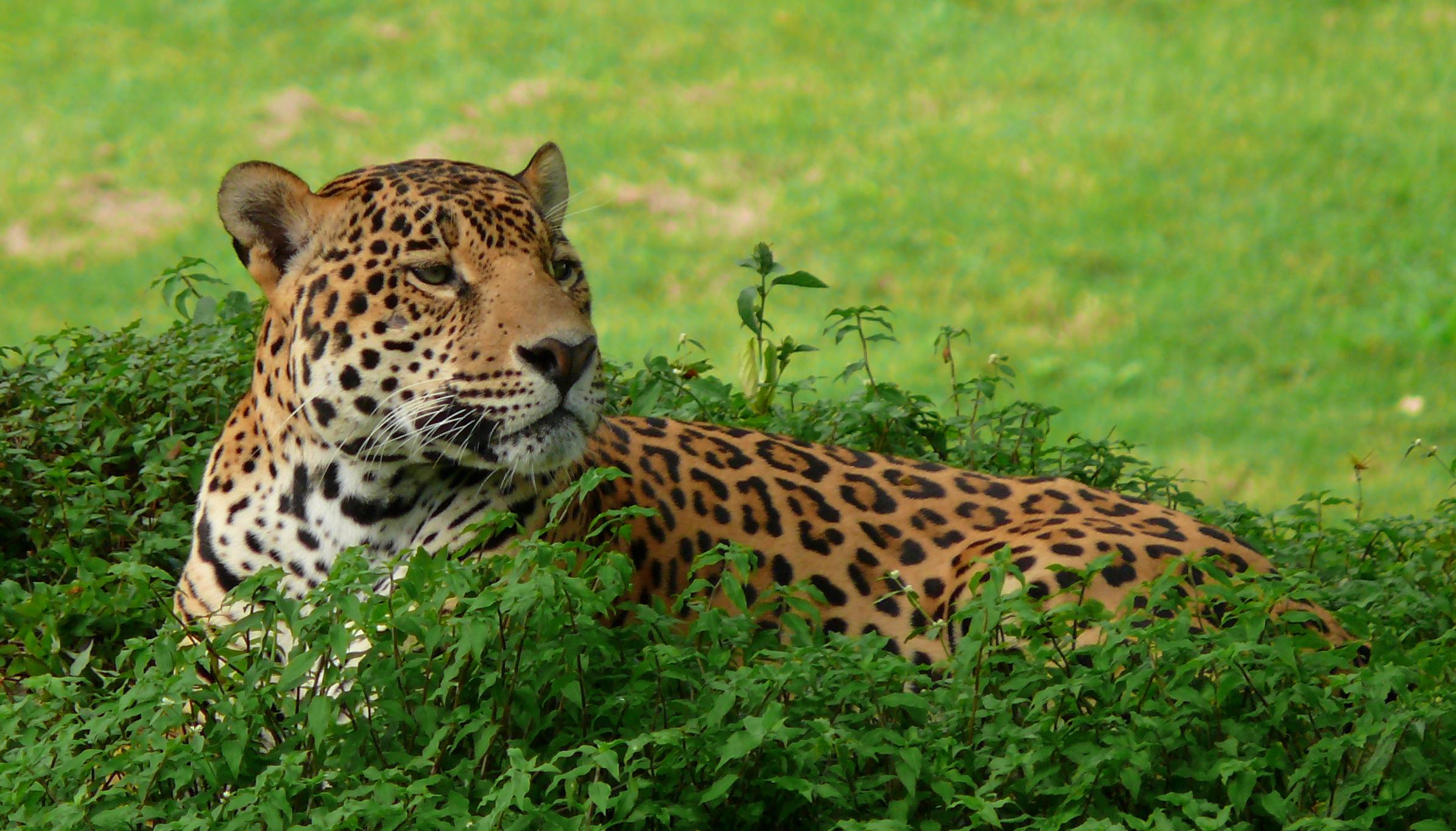 Animales Felino Leopardos Fondo De Pantalla Fondos De: Fondos De Pantalla : Naturaleza, Naturaleza, Animal