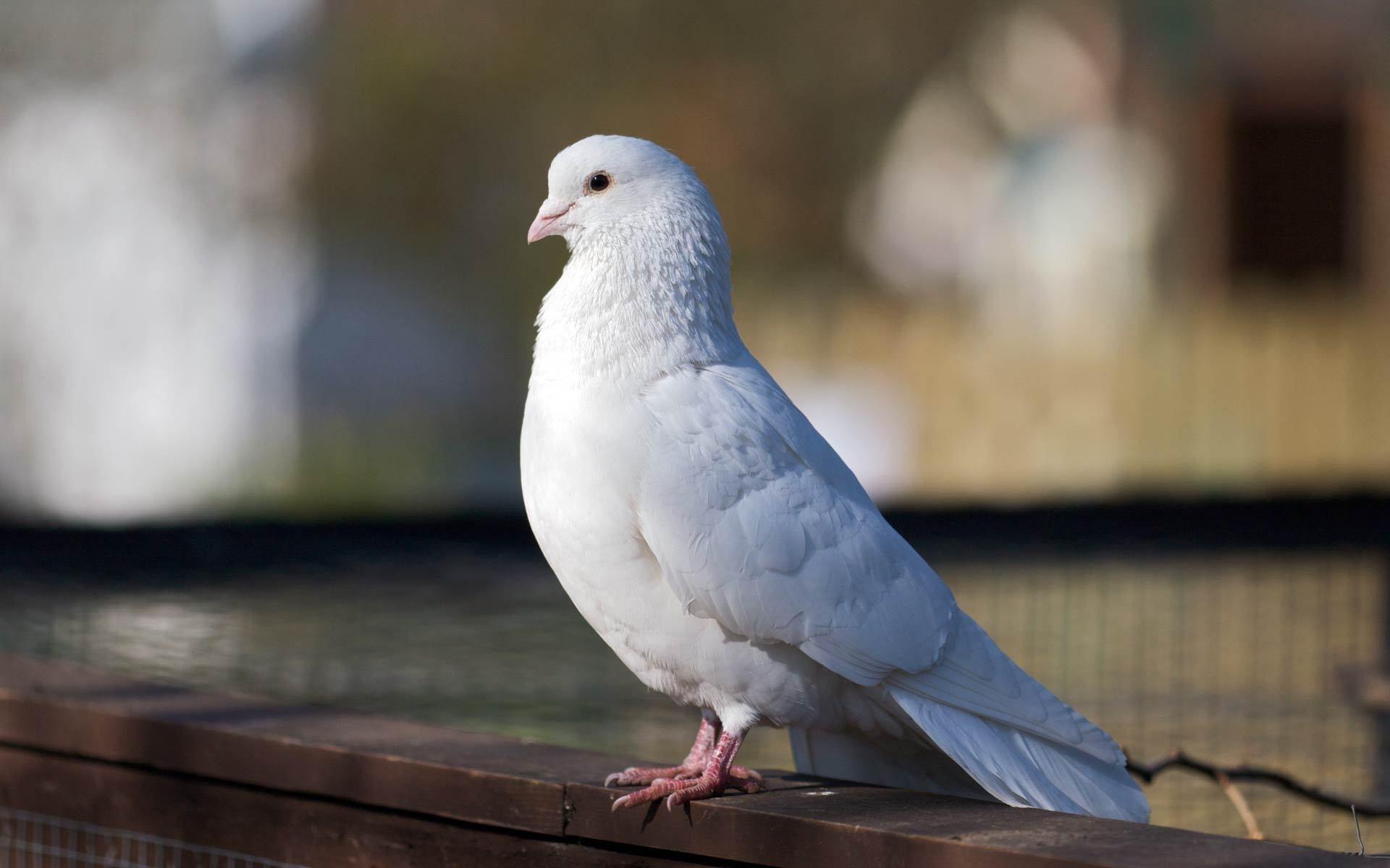 Картинка белые птицы