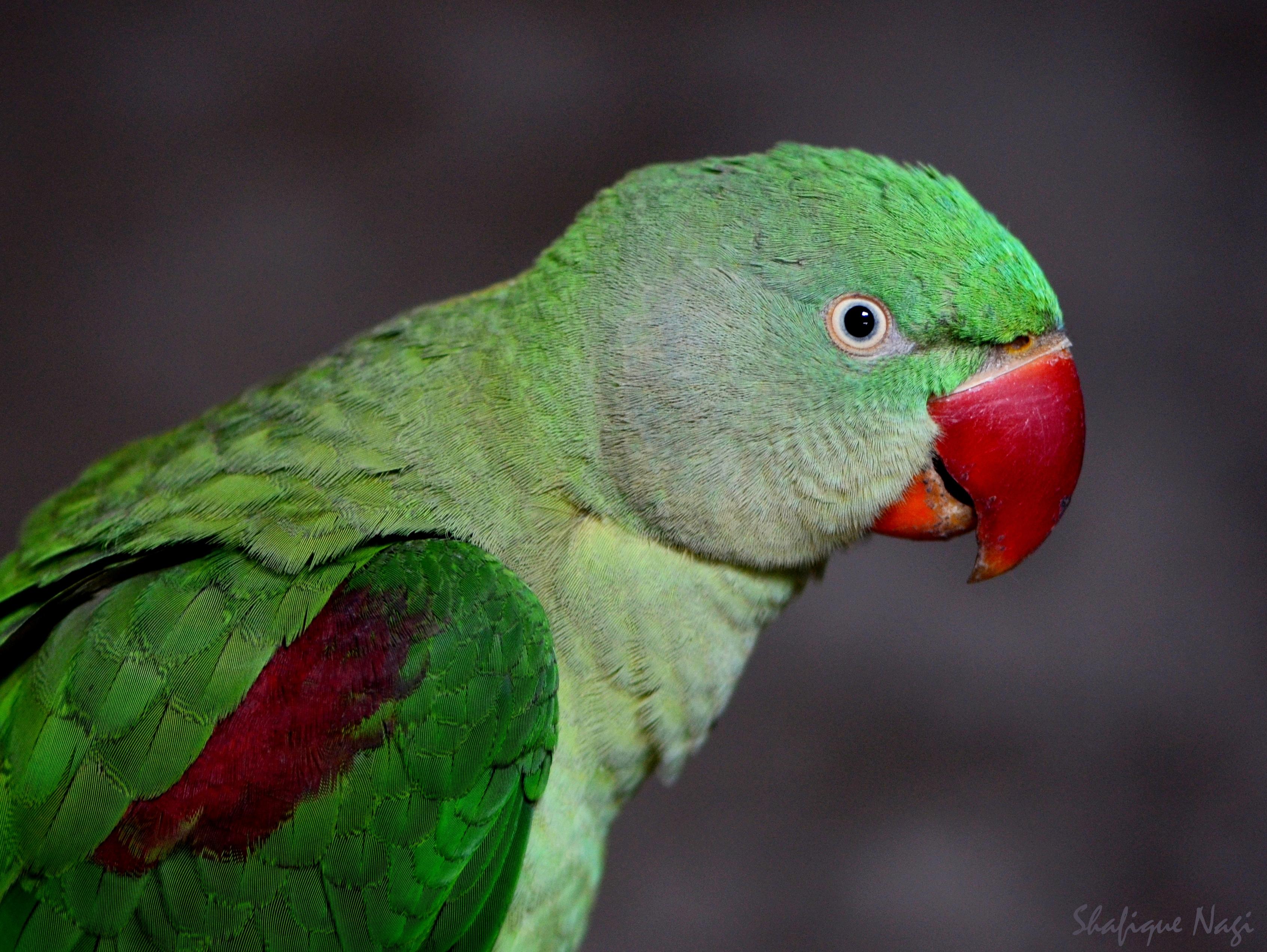 Papagei Sittich