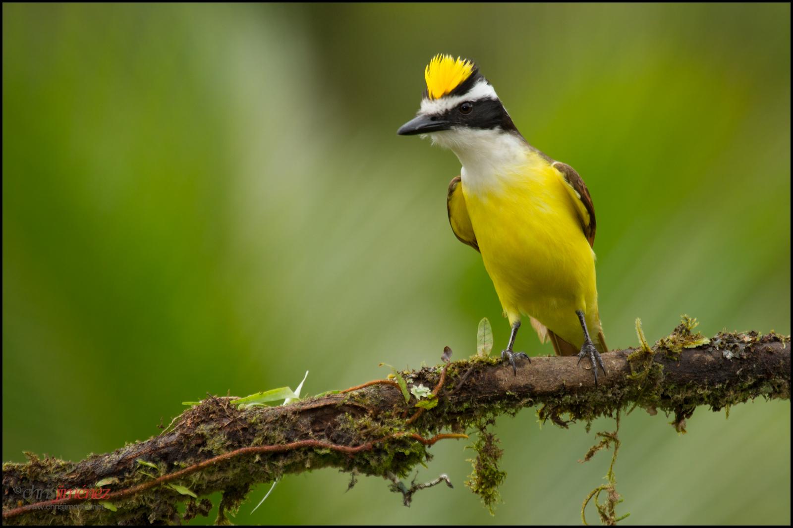 hintergrundbilder natur v gel gelb costa rica ast anzeigen tierwelt vogelbeobachtung. Black Bedroom Furniture Sets. Home Design Ideas