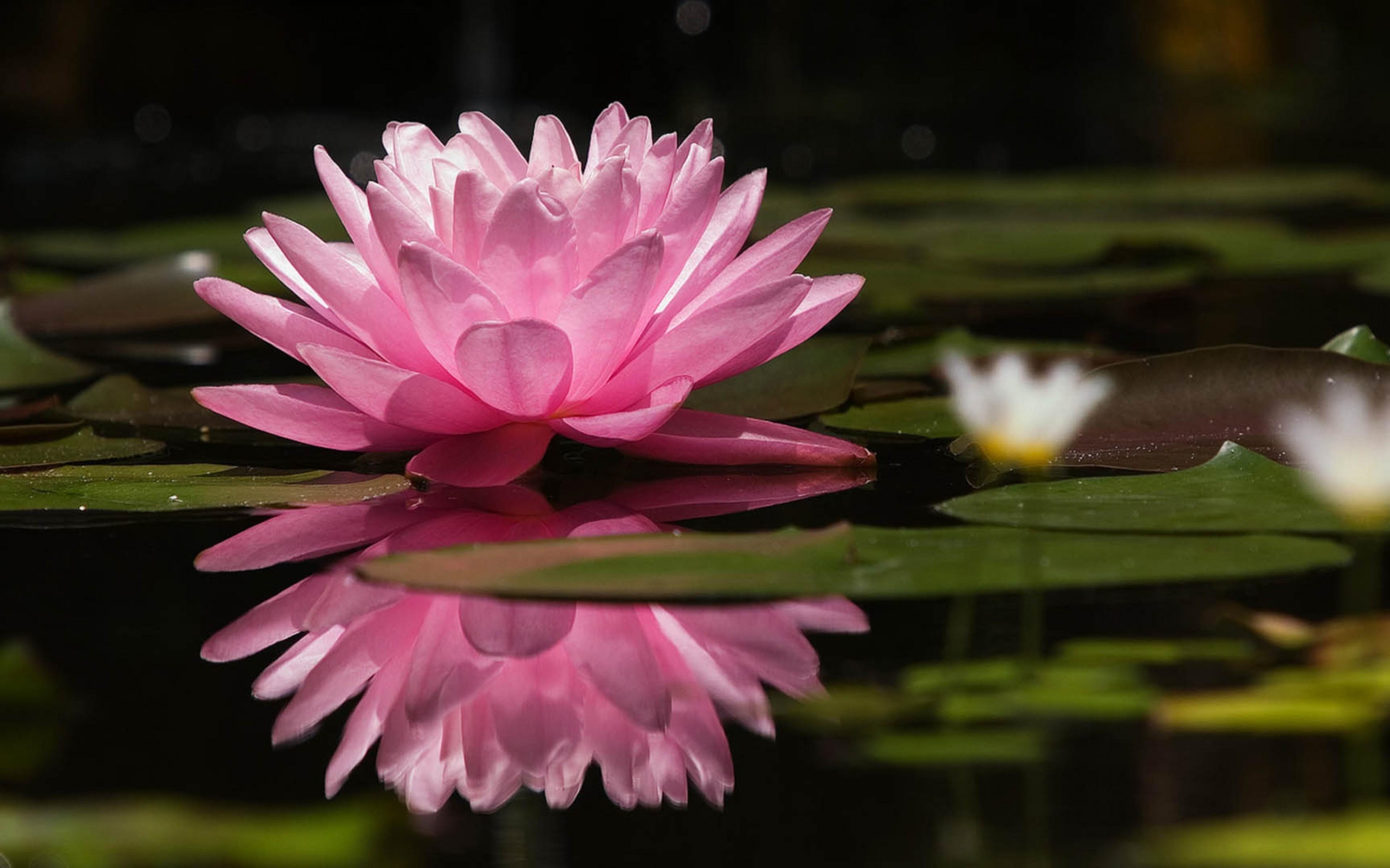 Wallpaper Nature Blossom Pink Lotus Flowers Lotus Flower