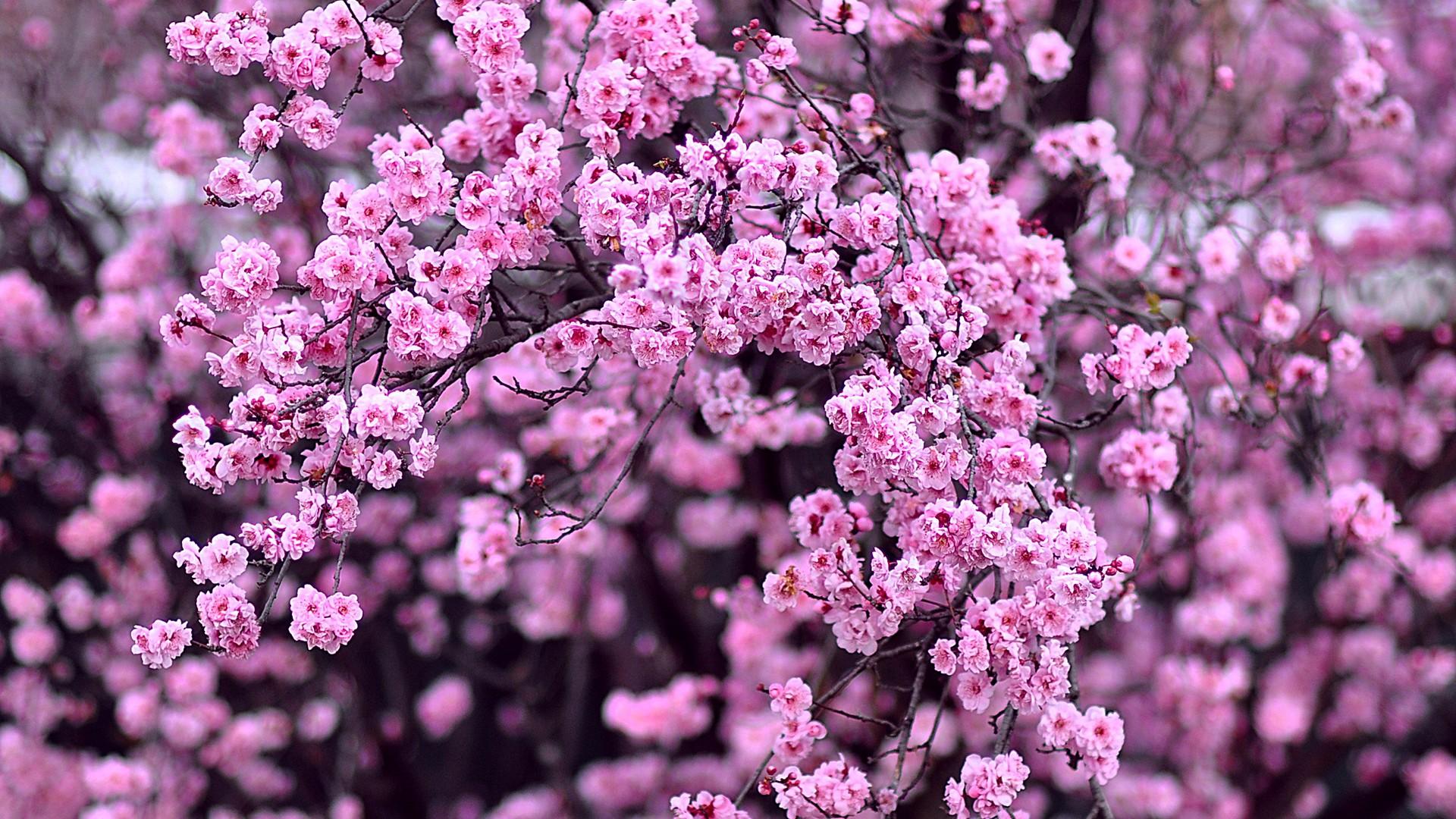 fond d 39 cran la nature branche fleur de cerisier rose printemps lilas arbre feuille. Black Bedroom Furniture Sets. Home Design Ideas