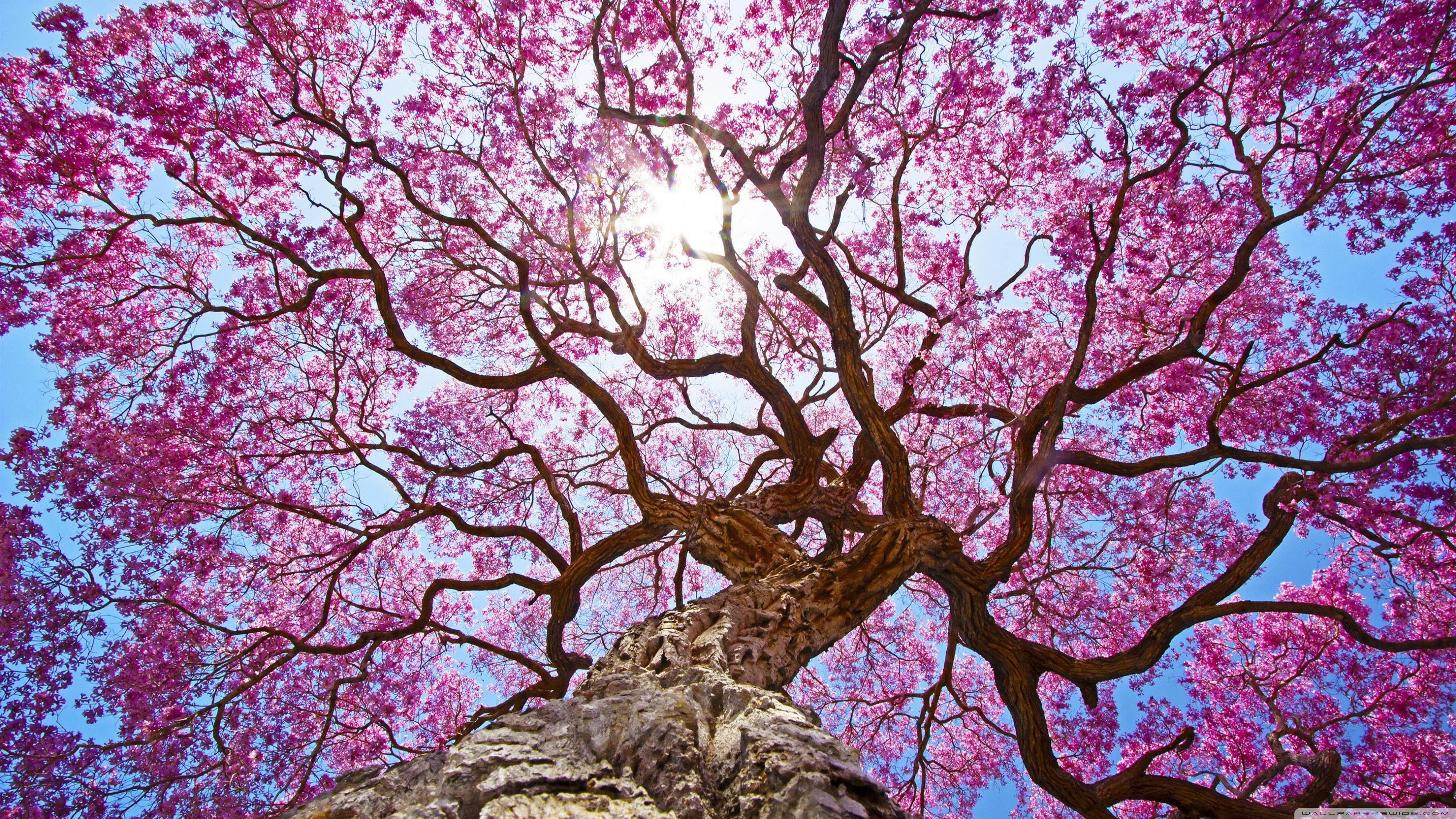 для картинки с вишневым цветом деревне после