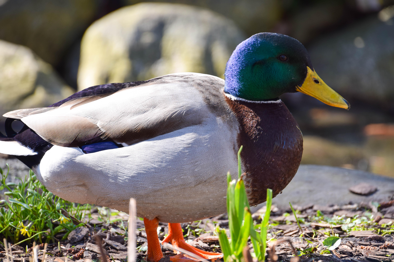 30489c349 Tapety : Příroda, detailní, Volně žijících živočichů, Švédsko, zobák,  Sverige, divoká kachna, venkovní, sk nel n, se, Kungsparken, Malmo, f gel,  fauna, ...